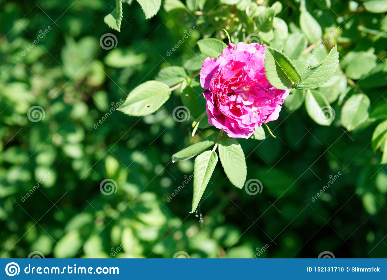 明亮的玫瑰色装饰野玫瑰果特写镜头