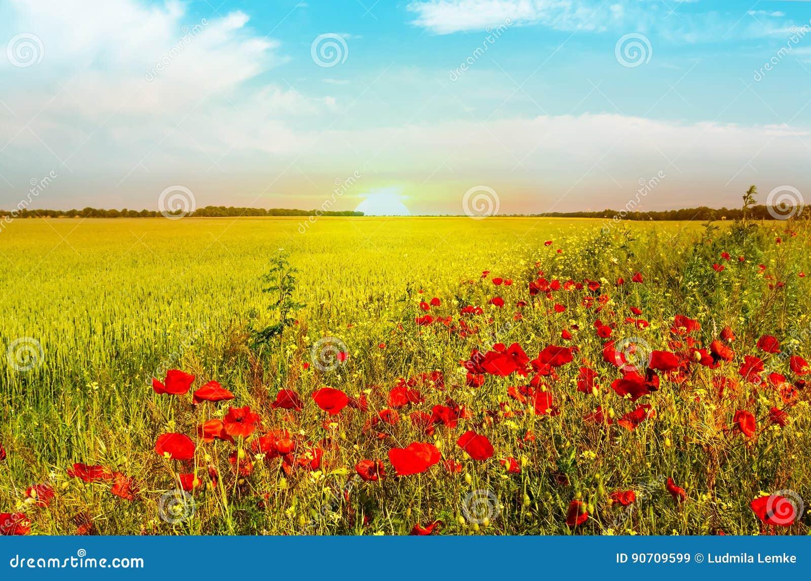 明亮的红色鸦片的麦田在夏天开花