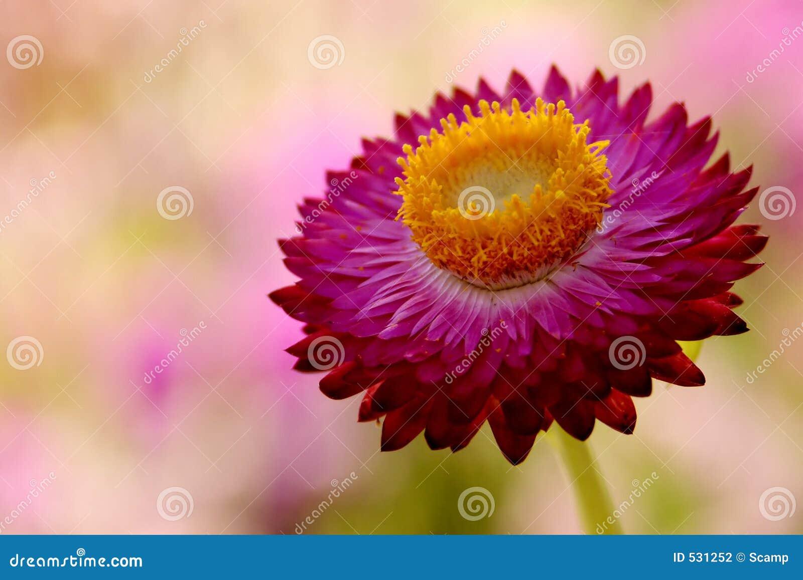 Download 明亮的花粉红色 库存照片. 图片 包括有 国家(地区), 乡下, 花卉, 唯一, 园艺, beauvoir, 室外 - 531252