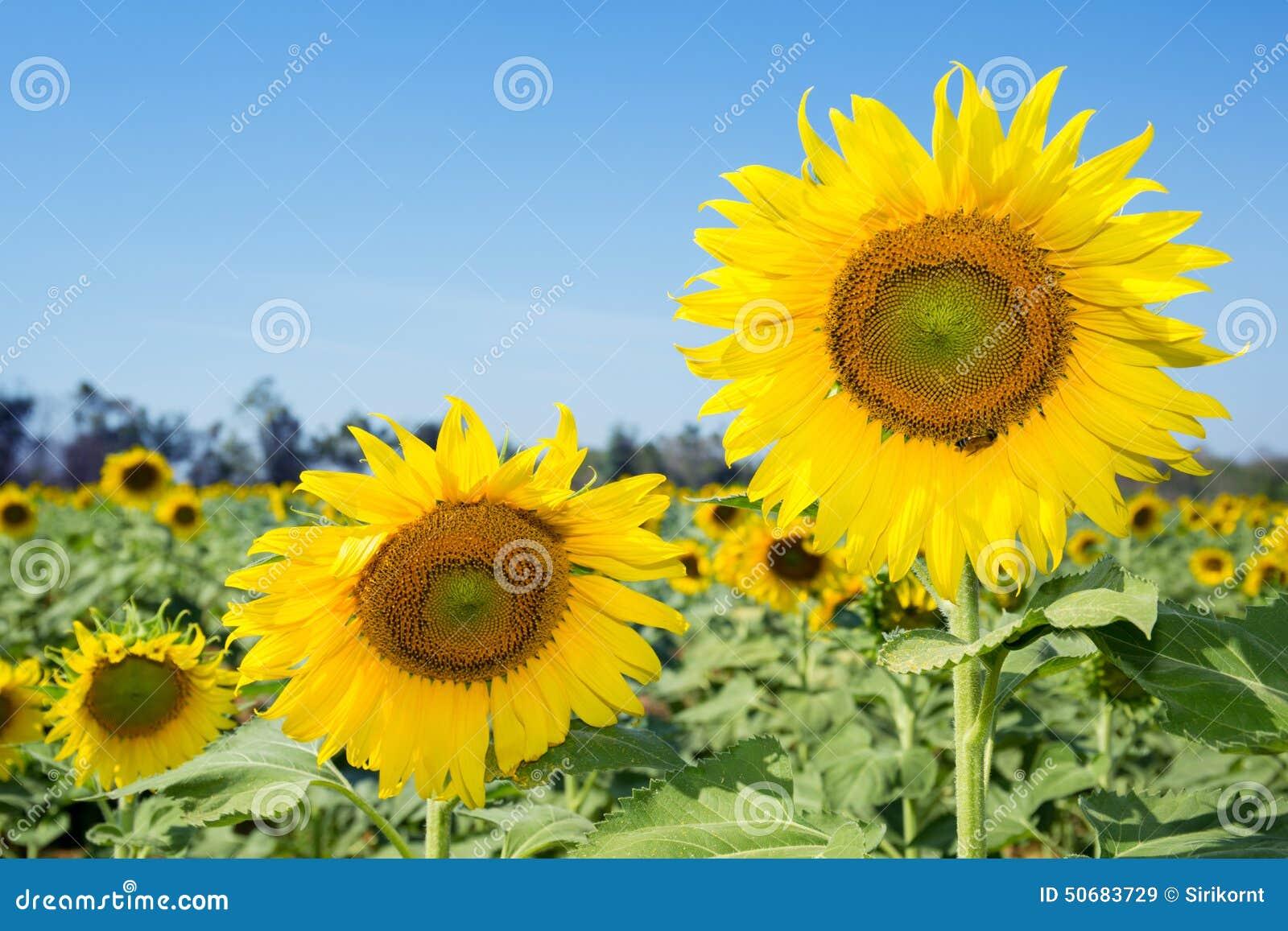 Download 明亮的花黄色 库存图片. 图片 包括有 花束, 黄色, 问候, 春天, 看板卡, 背包, 庭院, 本质, 植物群 - 50683729