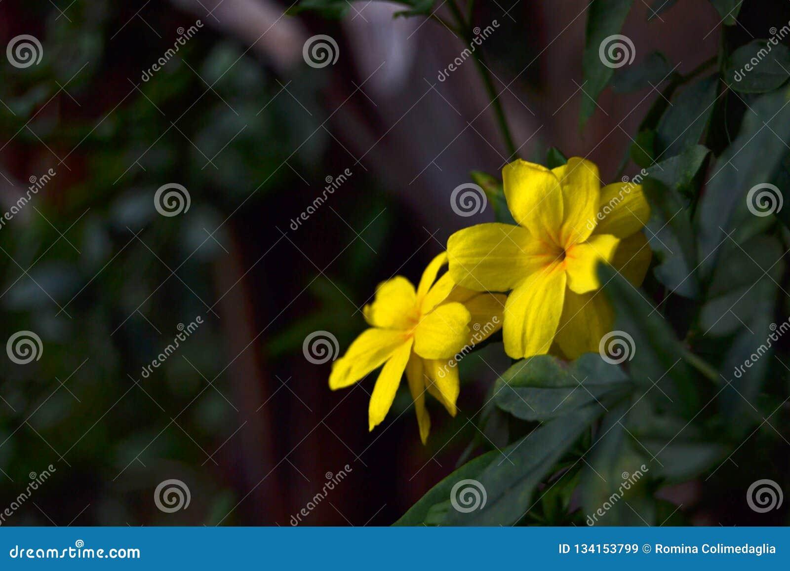 明亮的黄色花在晚上