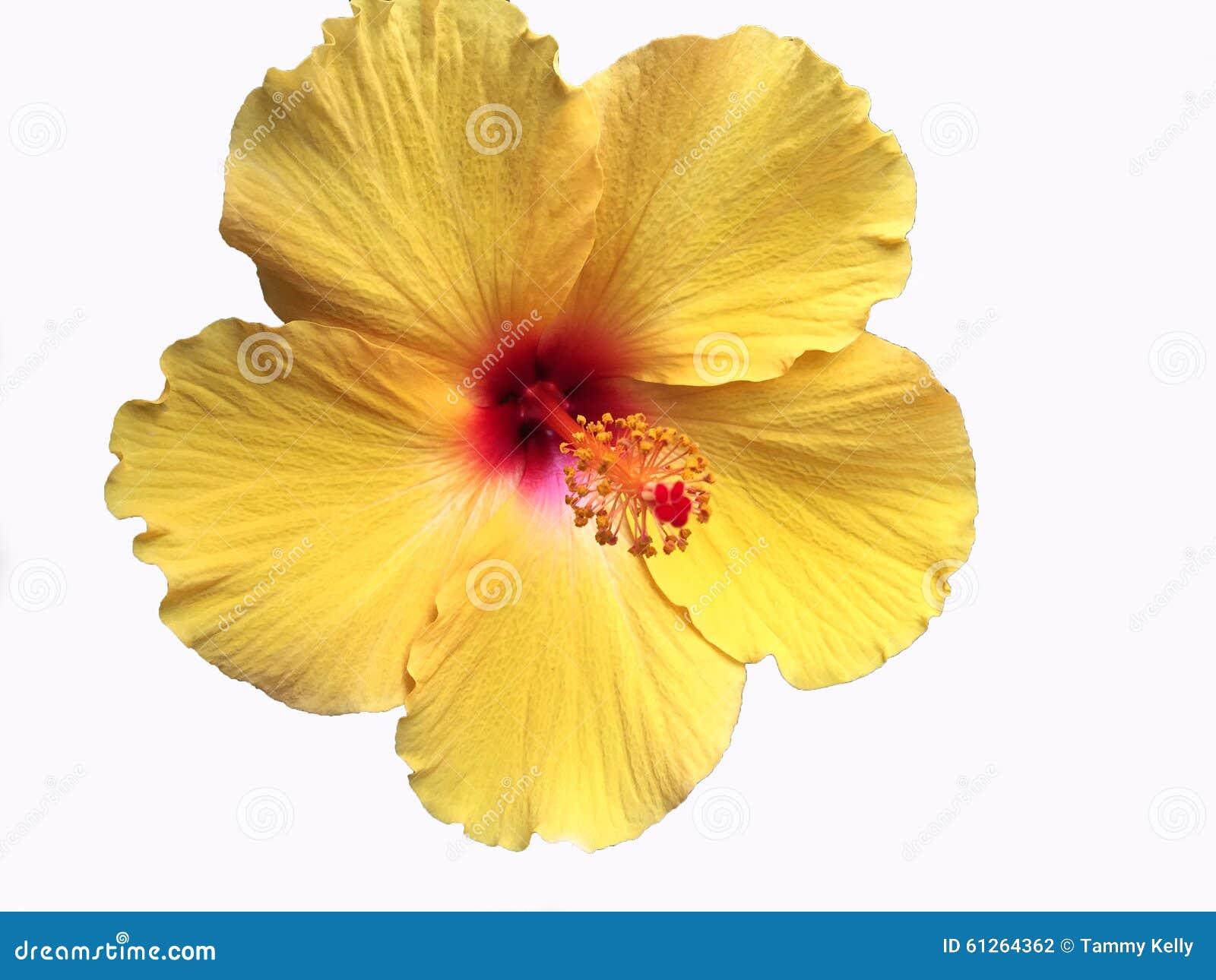 明亮的黄色夏威夷木槿花