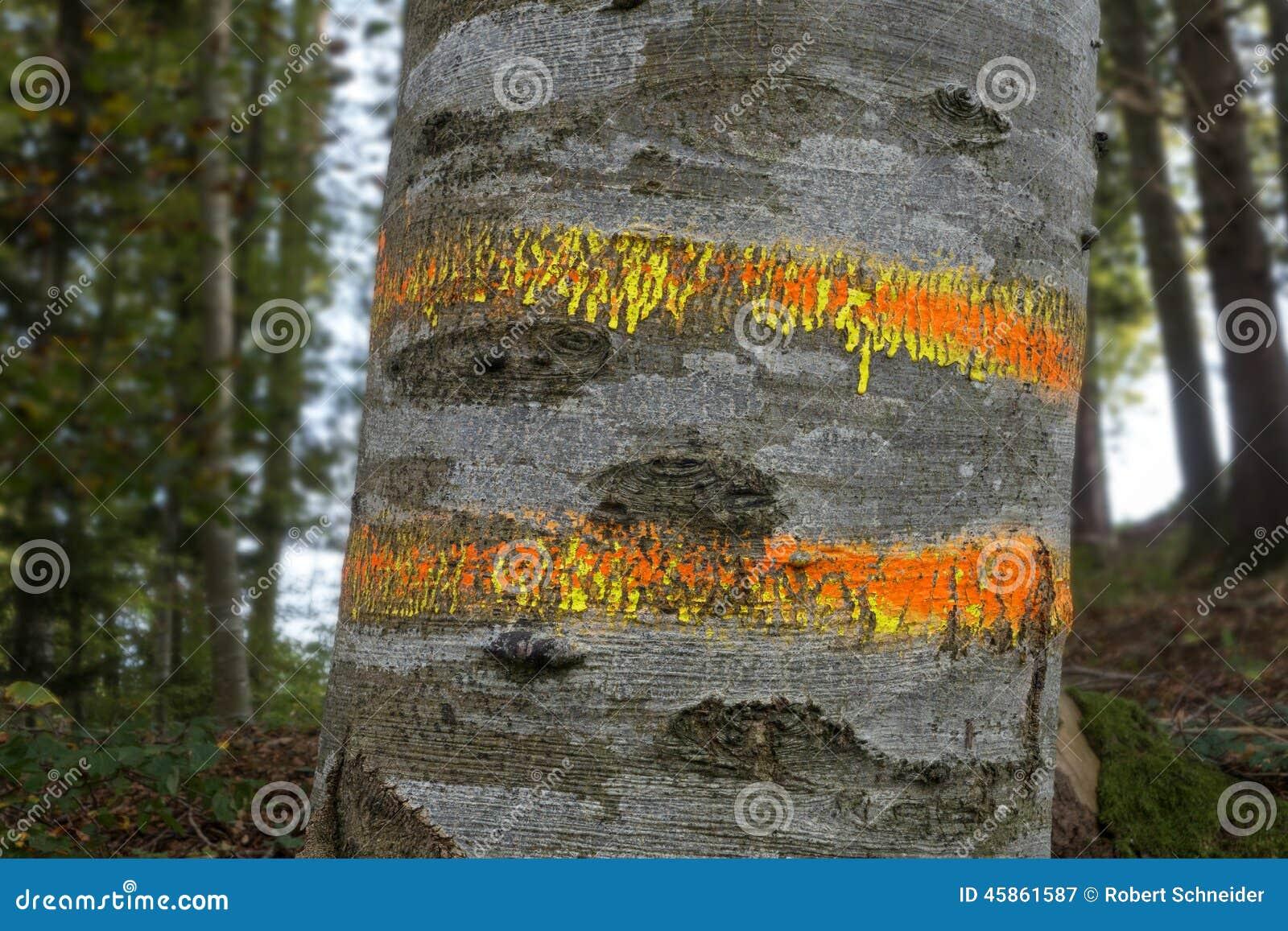 明显的山毛榉树干