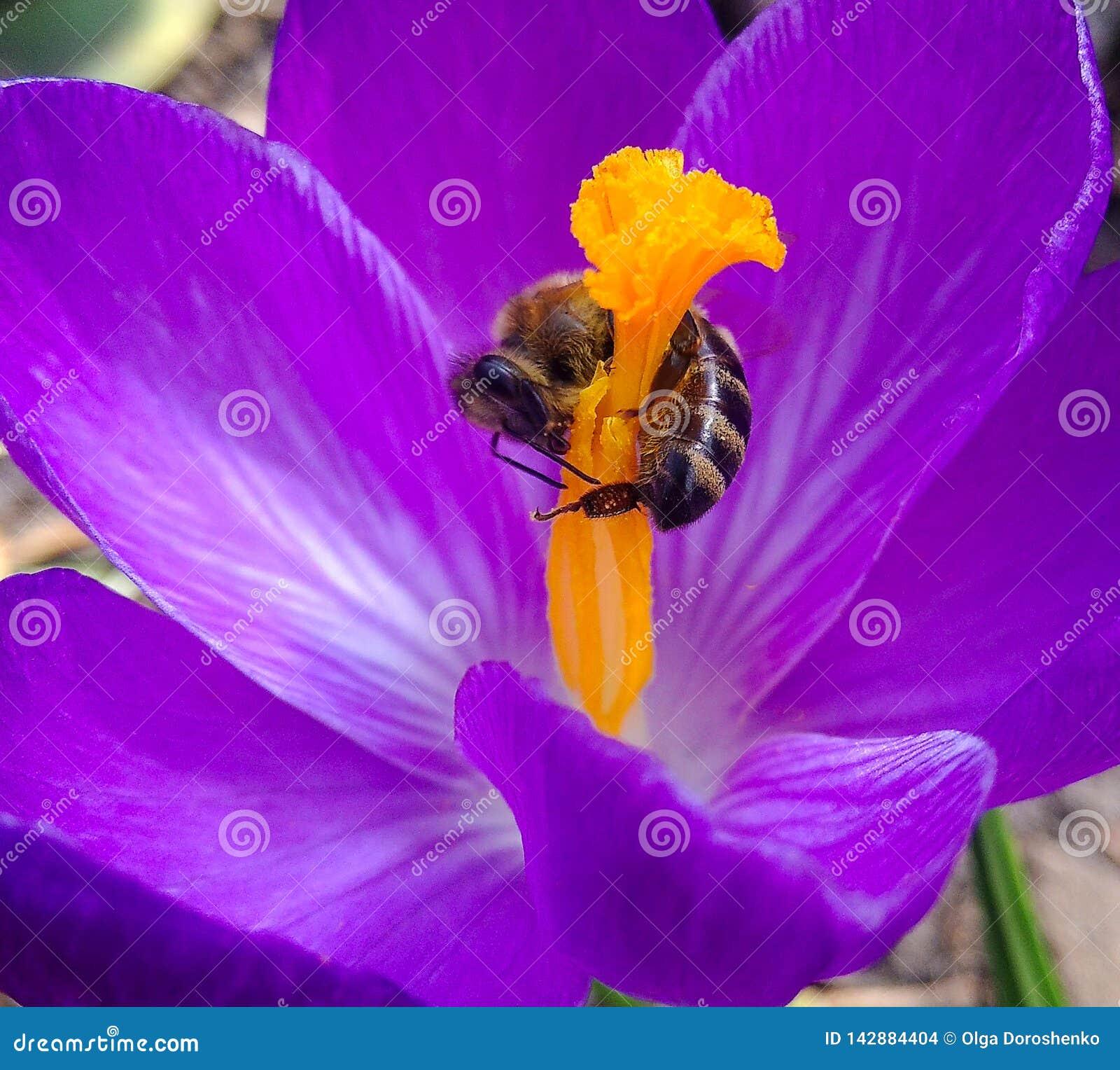 春天、花和蜂 在花番红花春天的蜂 在花关闭的蜂 选择聚焦