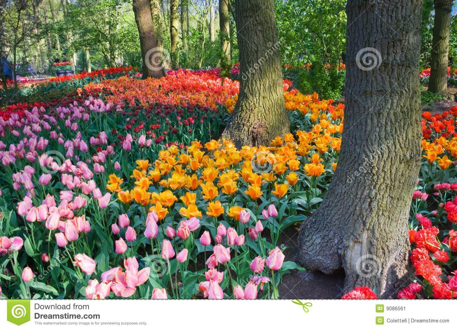 春天下结构树郁金香
