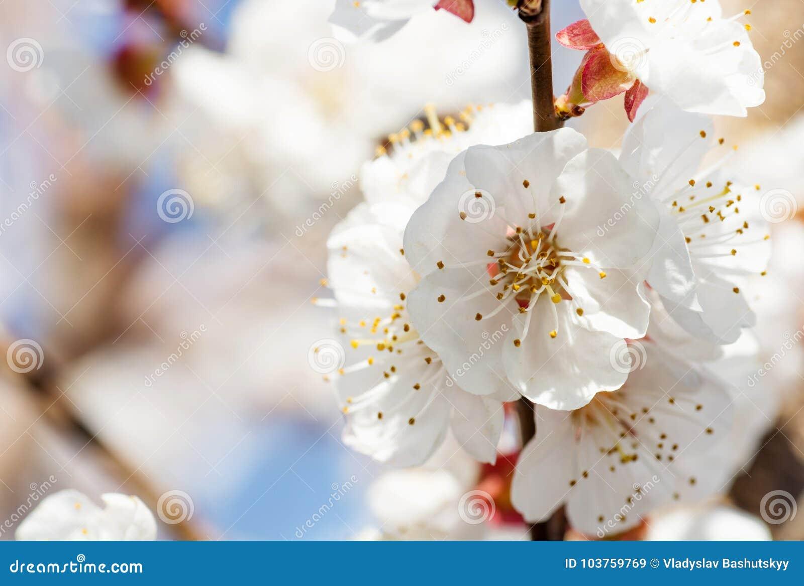 春天与桃红色开花的边界或背景艺术 与开花的树的美好的自然场面和太阳飘动 晴朗的复活节