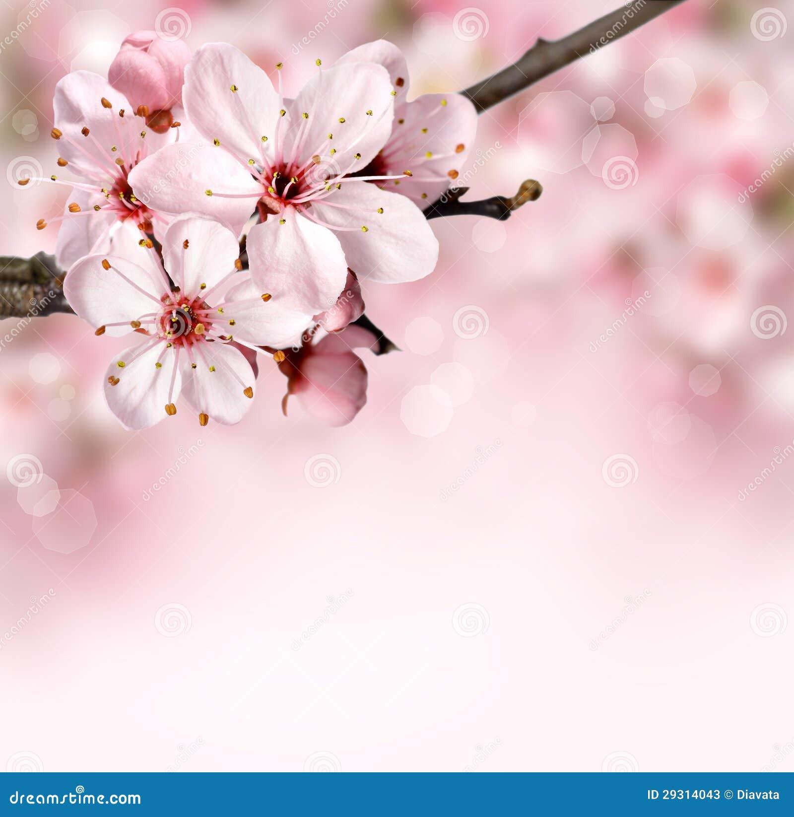 春天与桃红色开花的边界背景