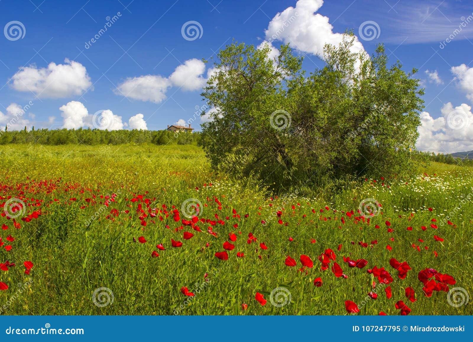 春天在托斯卡纳,与鸦片的风景
