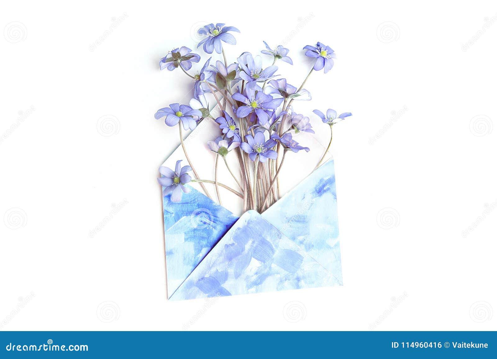 春天在白色背景隔绝的信封的花银莲花属Hepatica