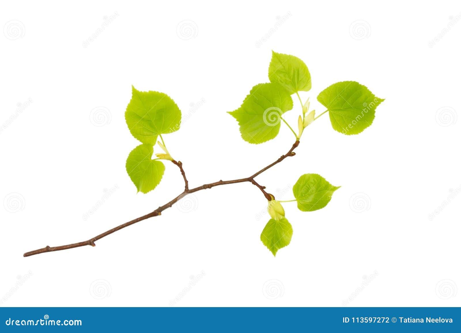 春天在白色隔绝的椴树分支一张前面照片  春天复活节枝杈 文本的, copyspace地方