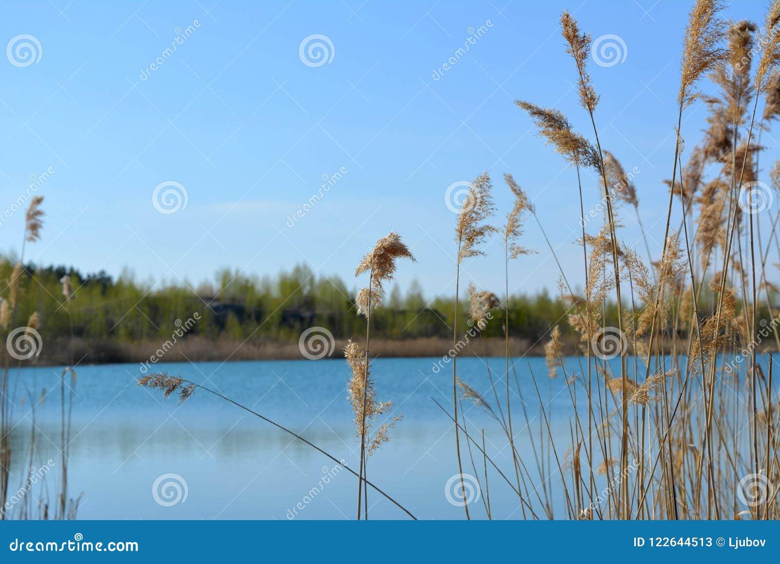 春天场面有看法向湖通过纸莎草丛林  蓝天和水在春日