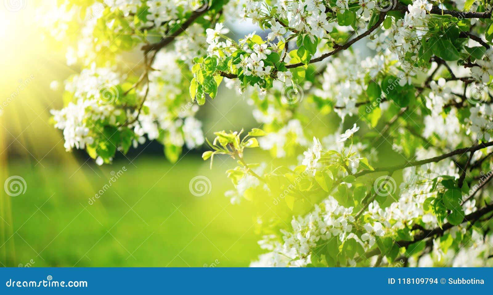 春天开花背景 与开花的树的自然场面和太阳飘动 下雨