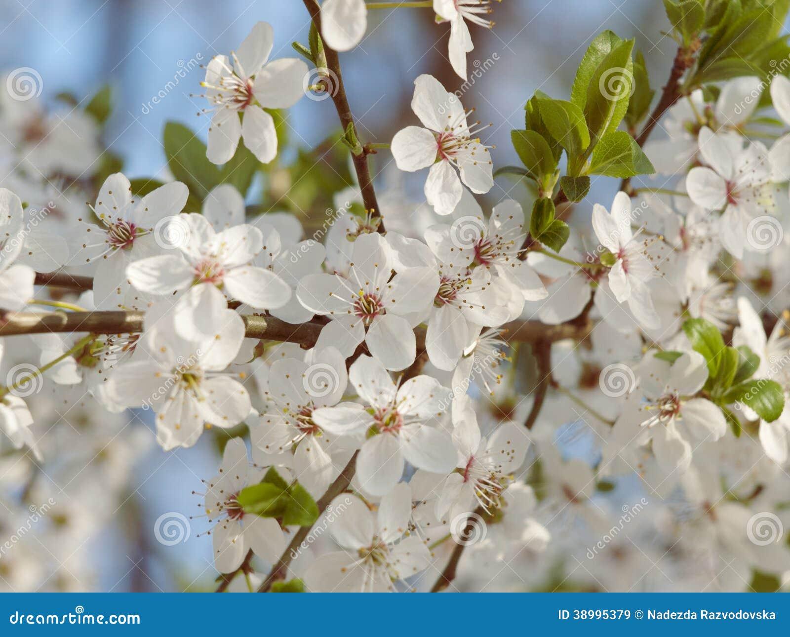 春天樹開花的照片.圖片