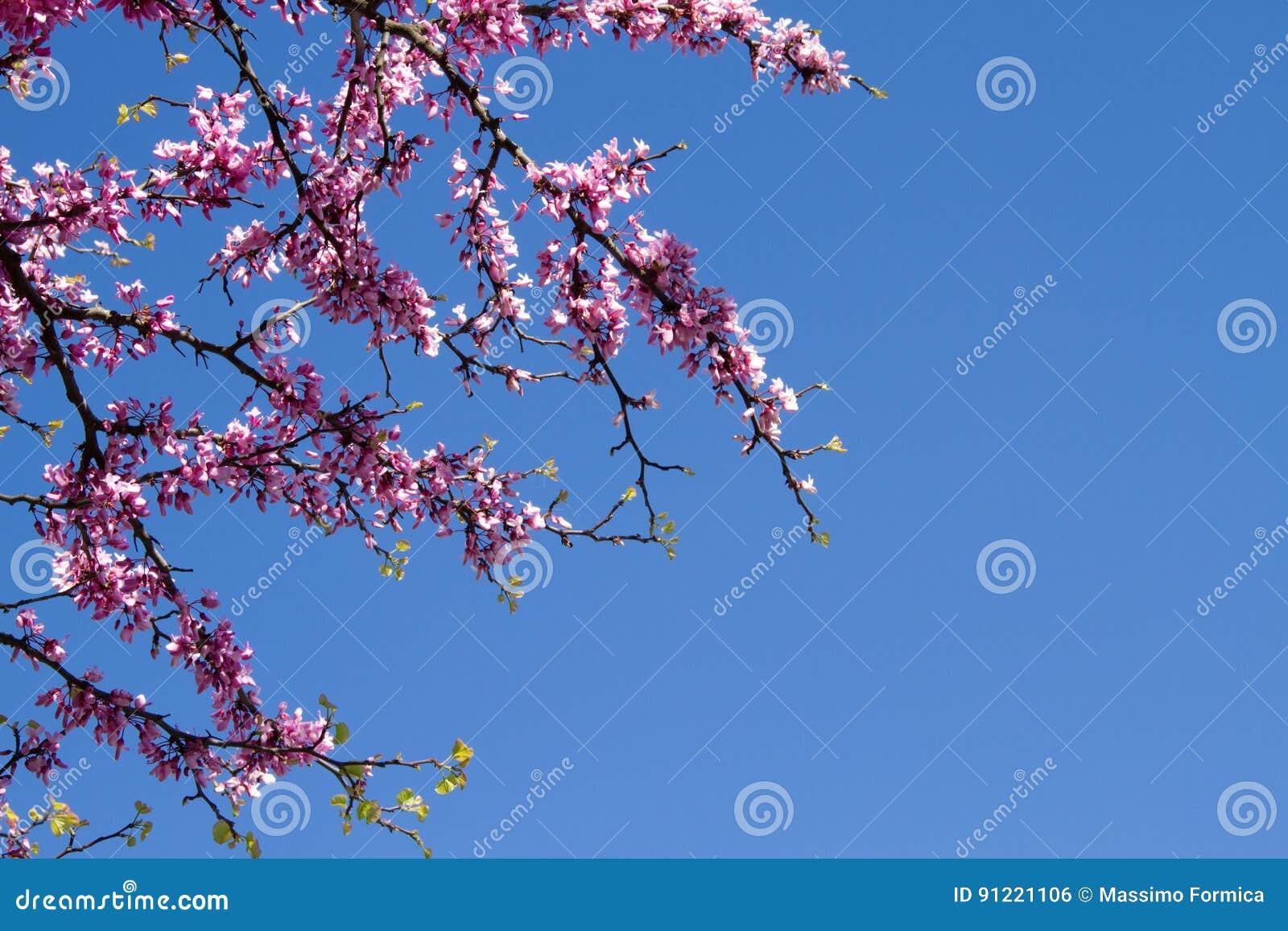 春天桃红色开花的树