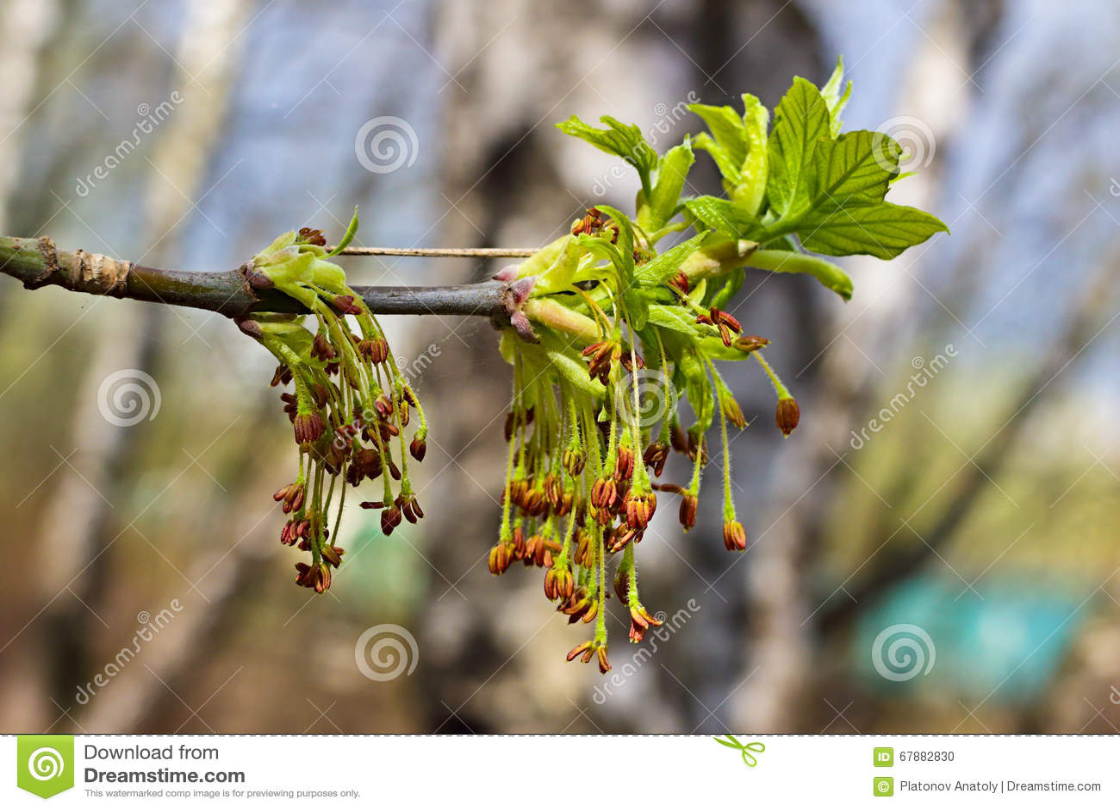 春天的第一个标志是在树的被遣散的肾脏