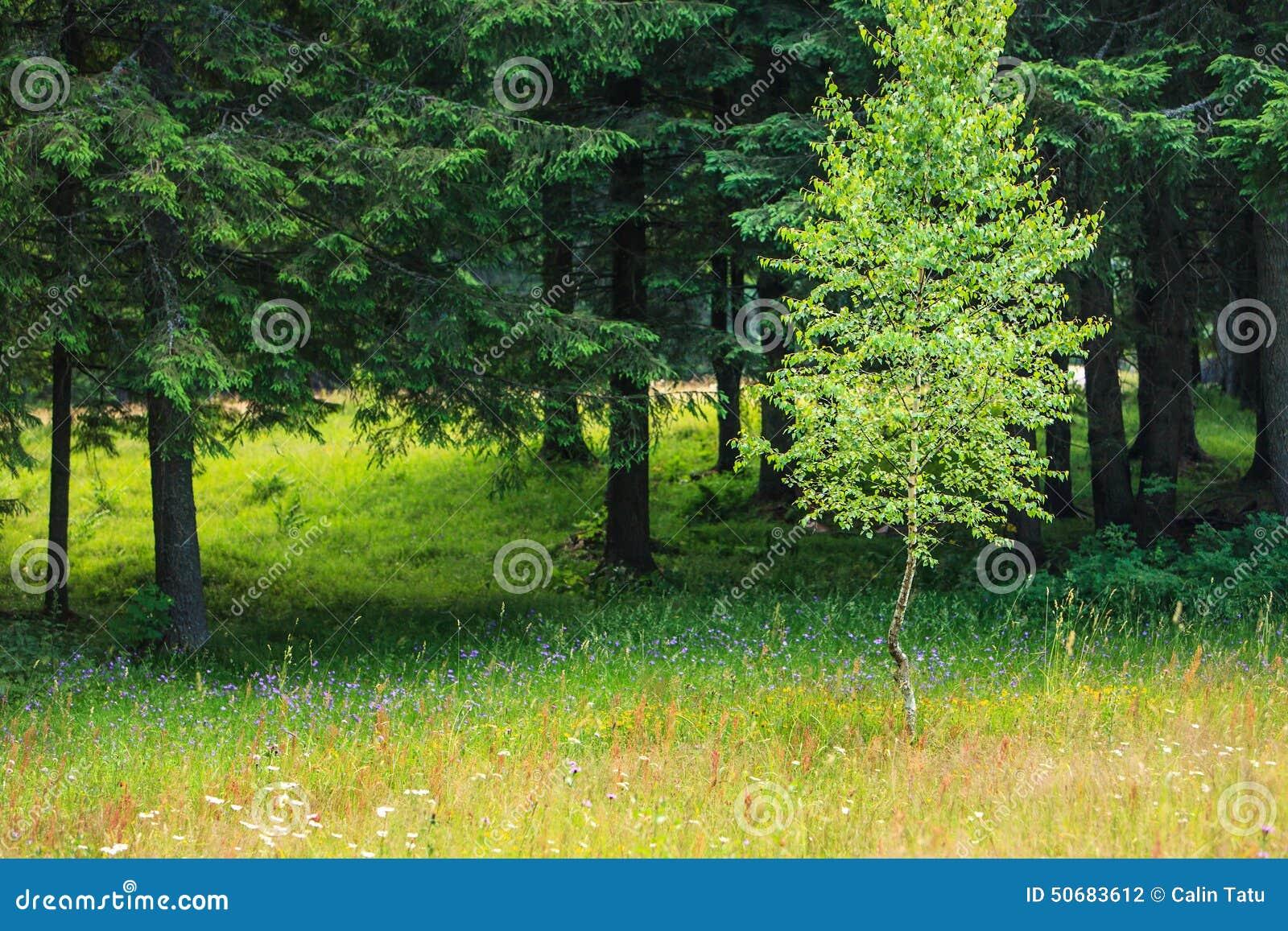 Download 春天草甸和白杨木和冷杉木 库存照片. 图片 包括有 新鲜, 的根底, 草甸, 照亮, 晴朗, 本质, 蜂蜜 - 50683612