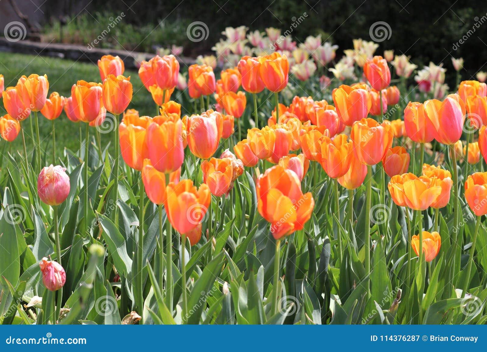春天郁金香绽放美丽的庭院