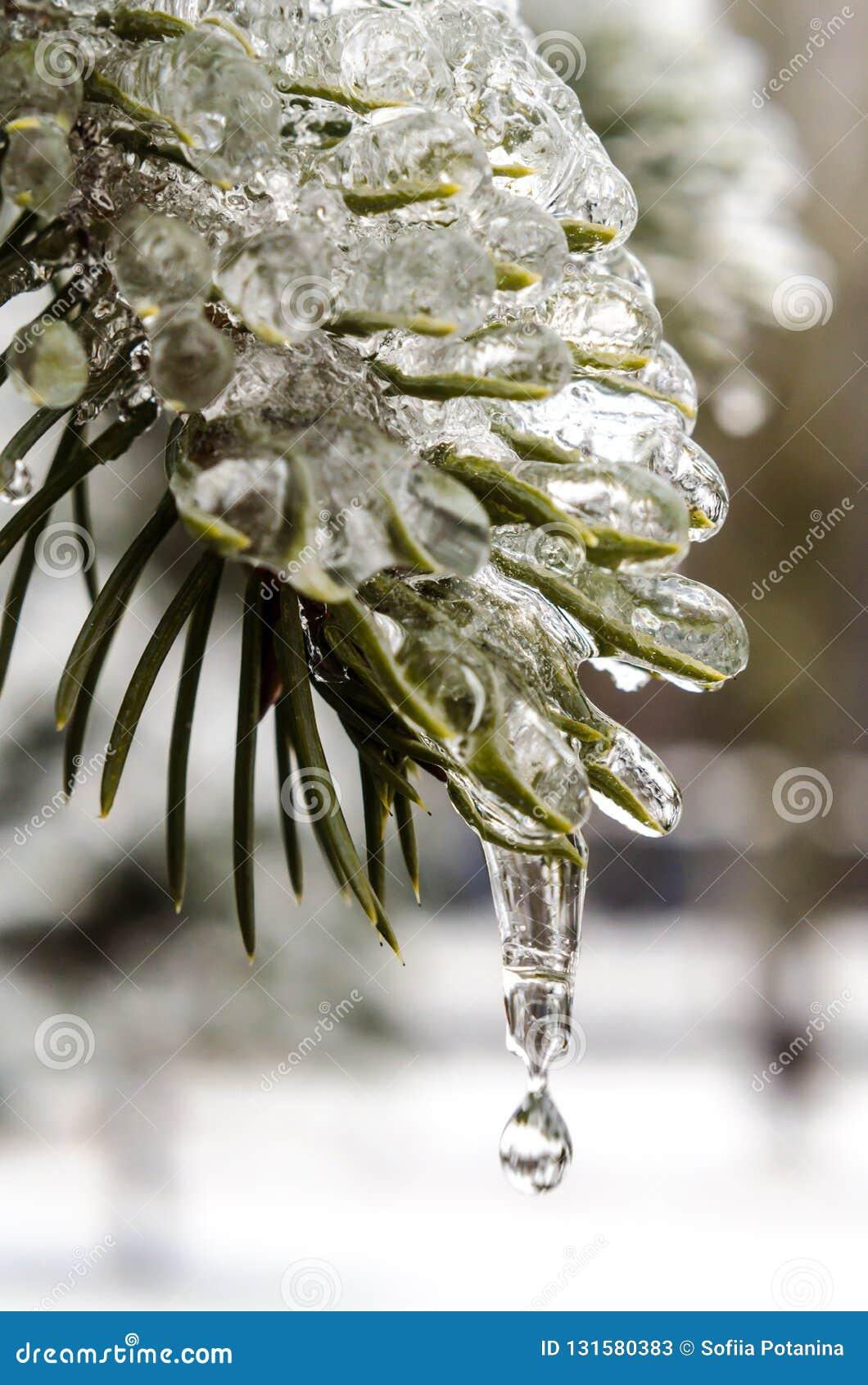 春天,冰柱,熔化的冰,在冰的绿色冷杉分支与熔化雪关闭下跌的下落
