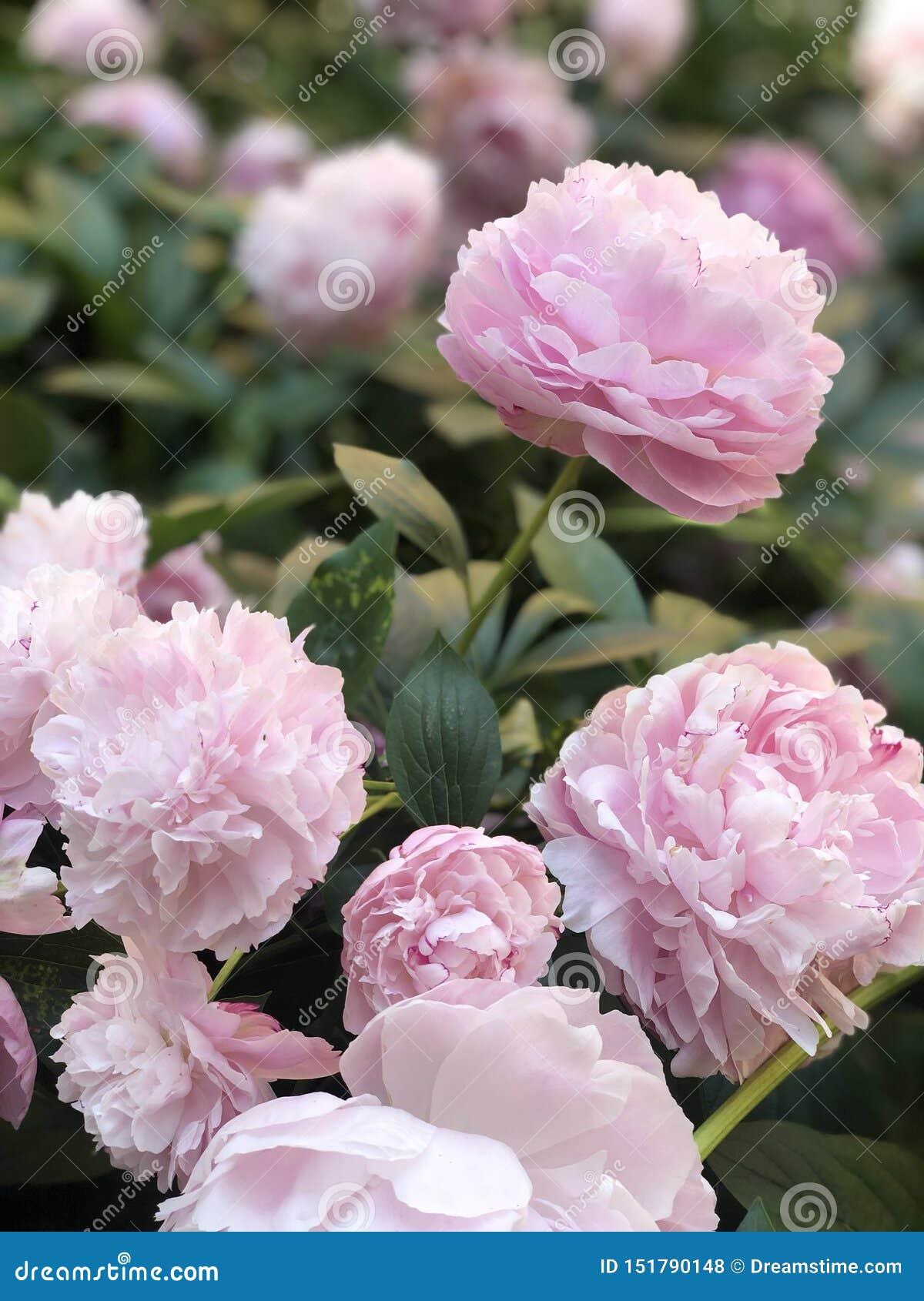 春天,花柔软,桃红色,牡丹