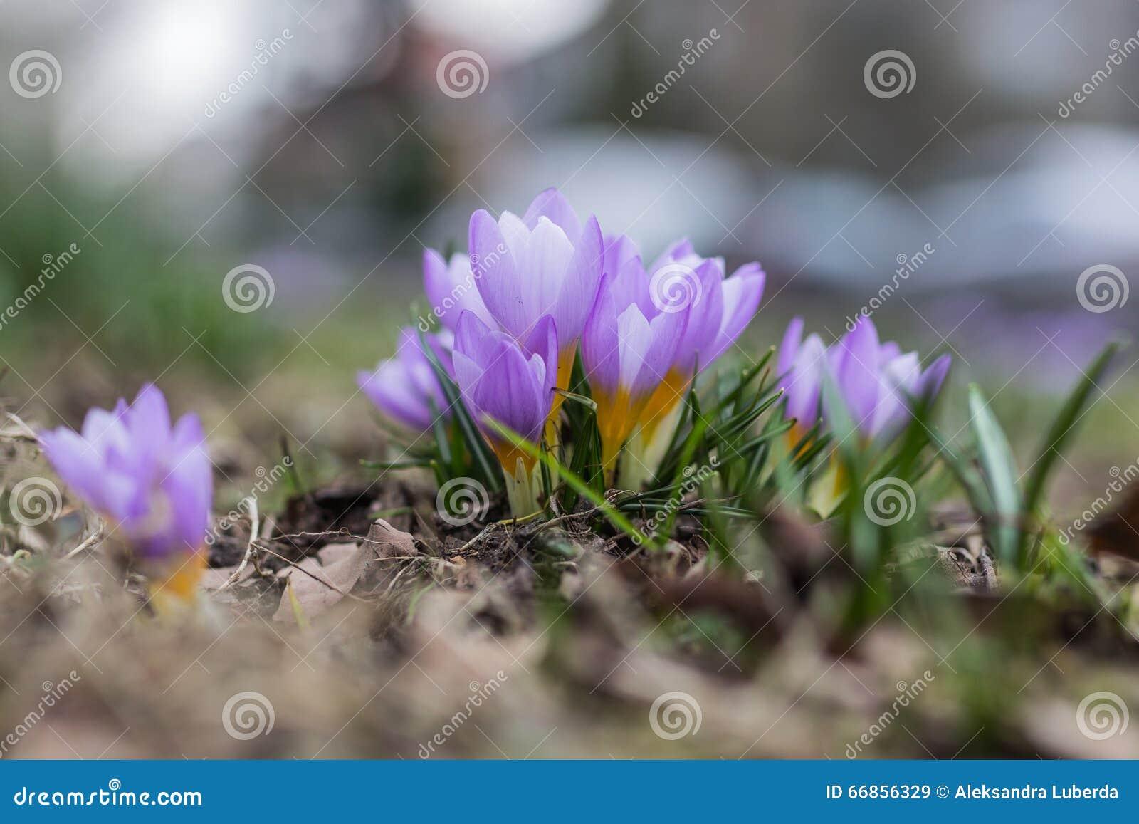 春天紫色番红花