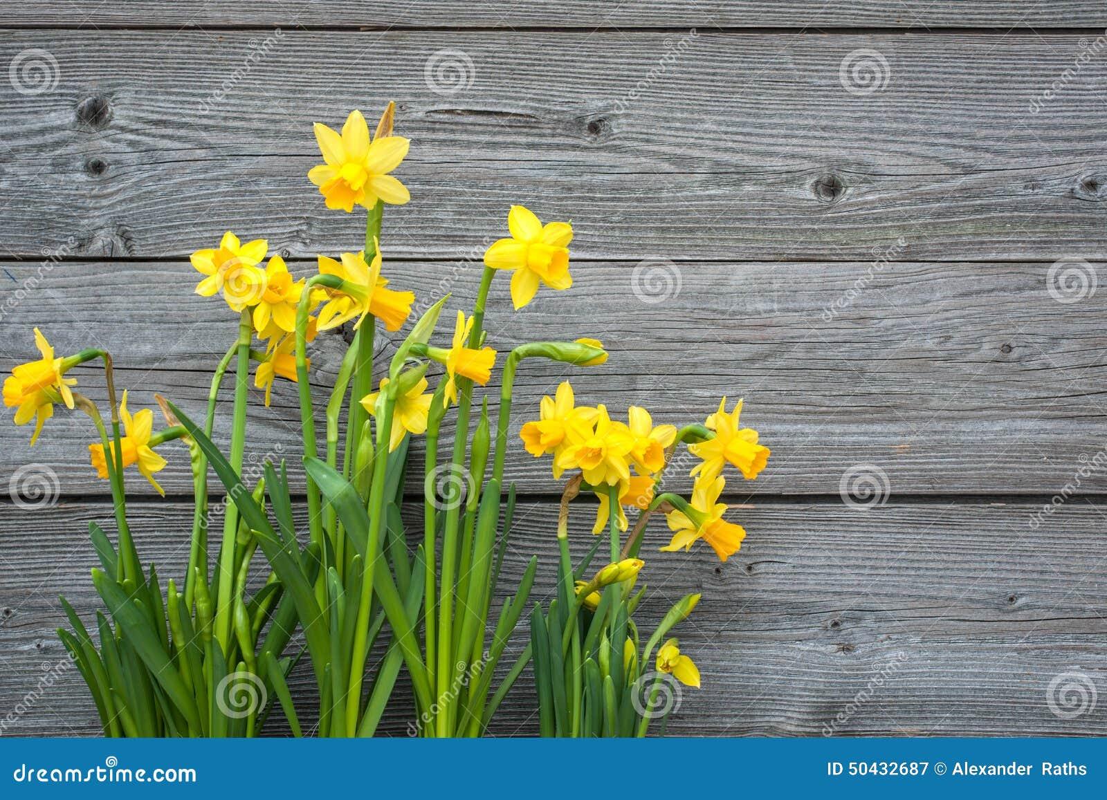 春天黄水仙