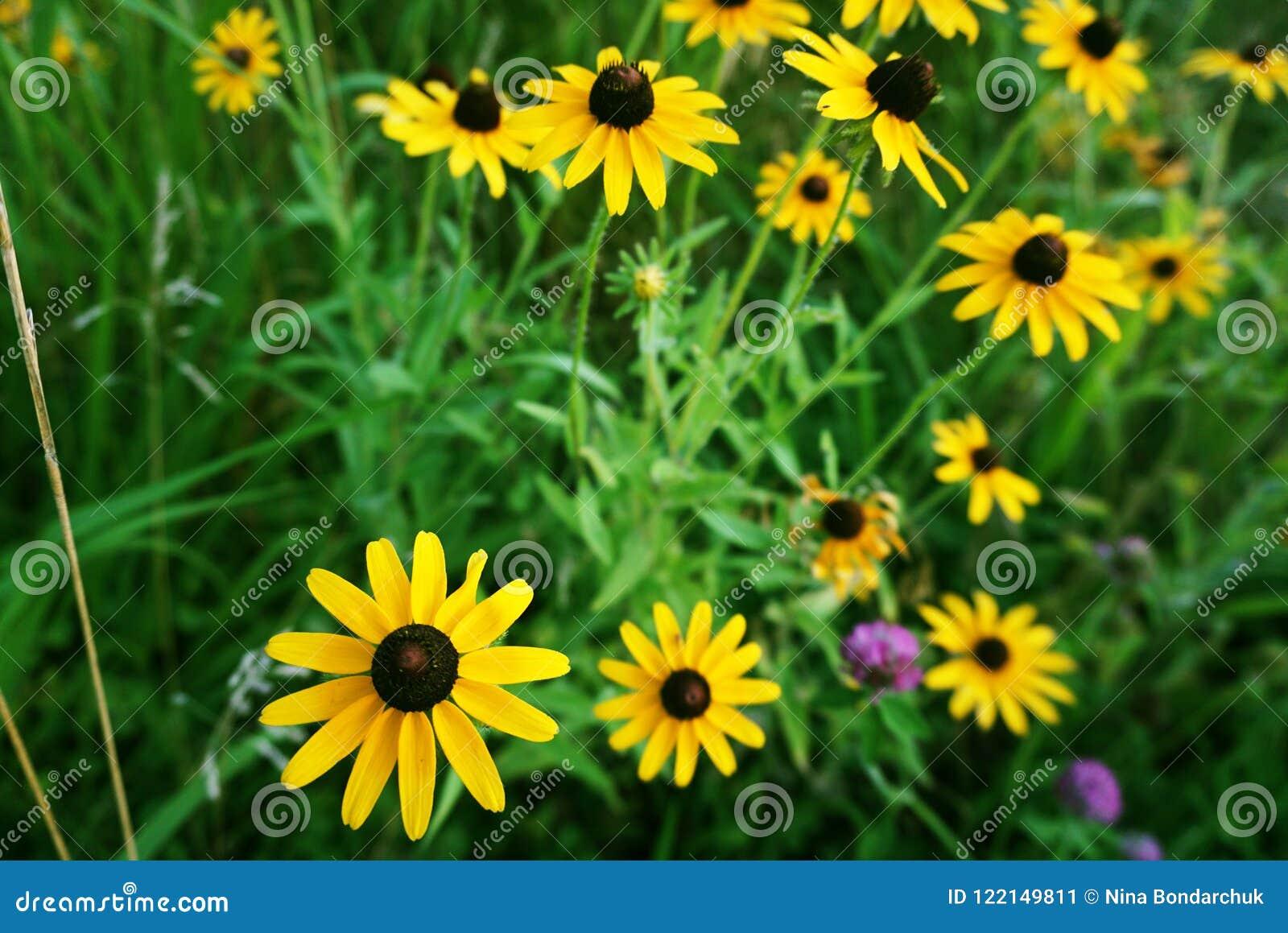 春黄菊黄色雏菊