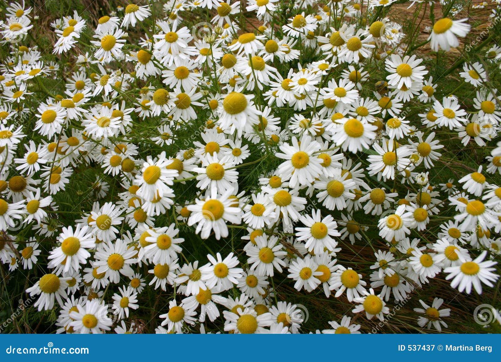 Download 春黄菊 库存图片. 图片 包括有  - 537437
