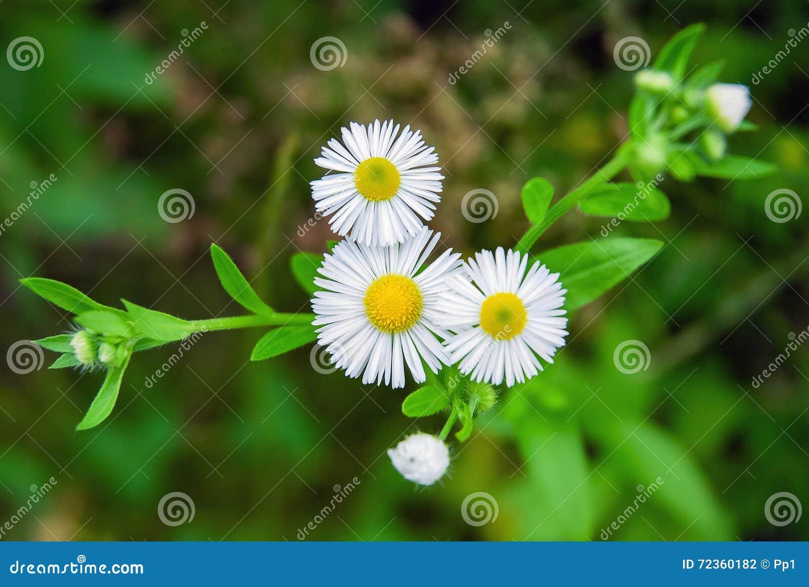 春黄菊狂放的草甸自然春黄菊开花