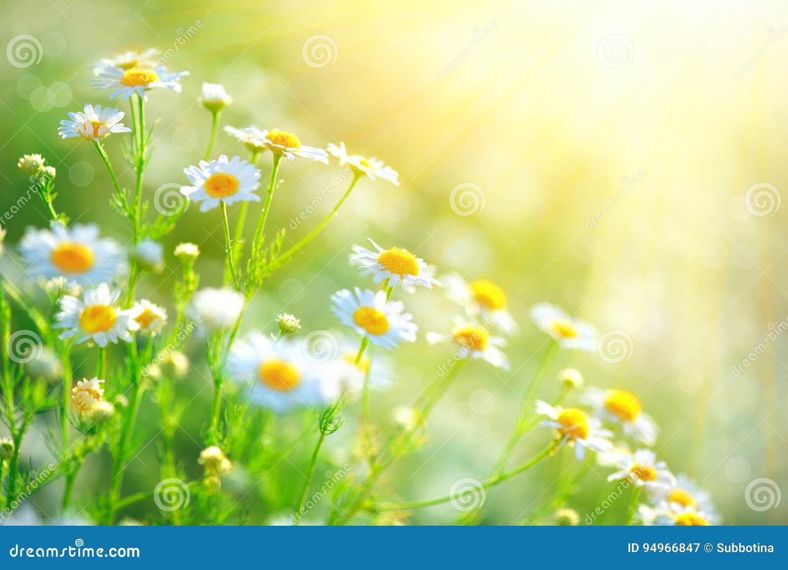 春黄菊领域开花边界 美好的本质场面