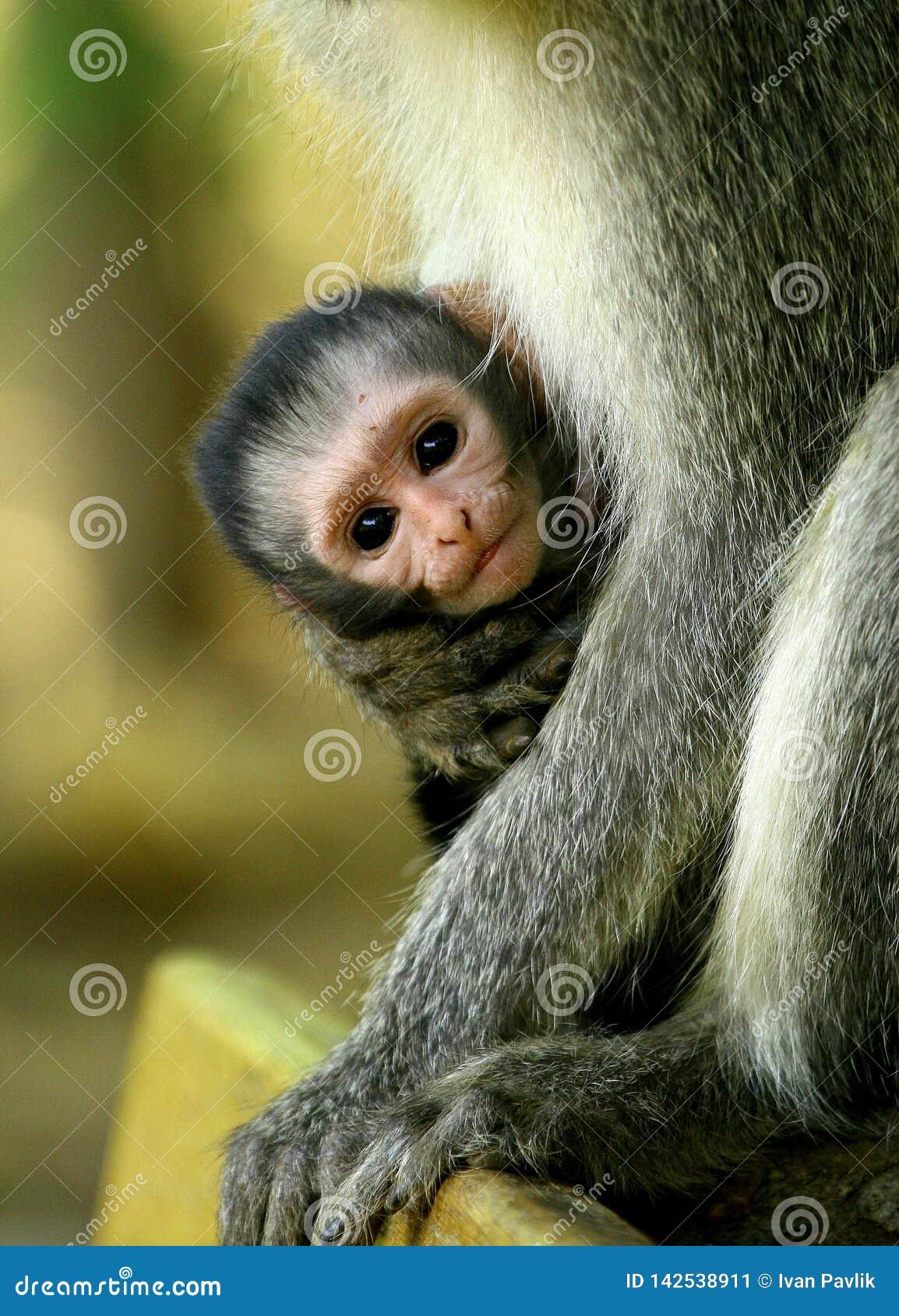 是黑长尾小猴的婴孩她的母亲的胳膊的举行在南非