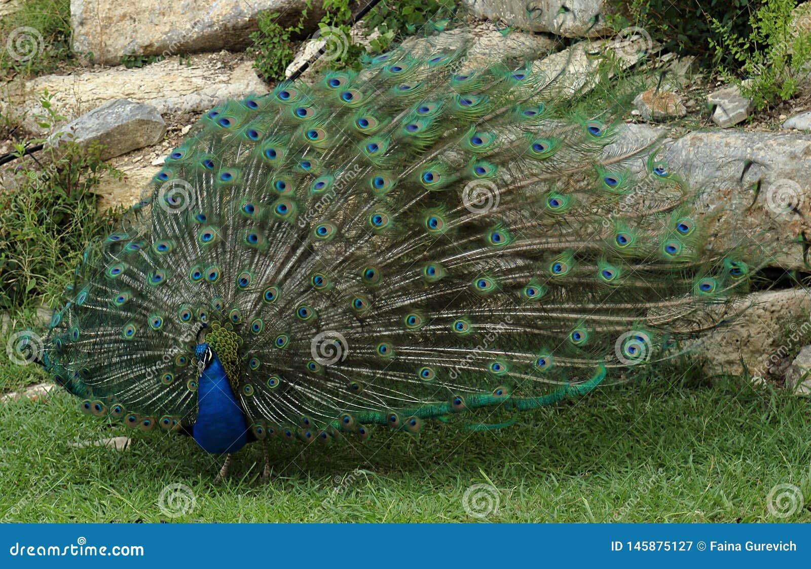 显示它的全身羽毛的美丽的孔雀