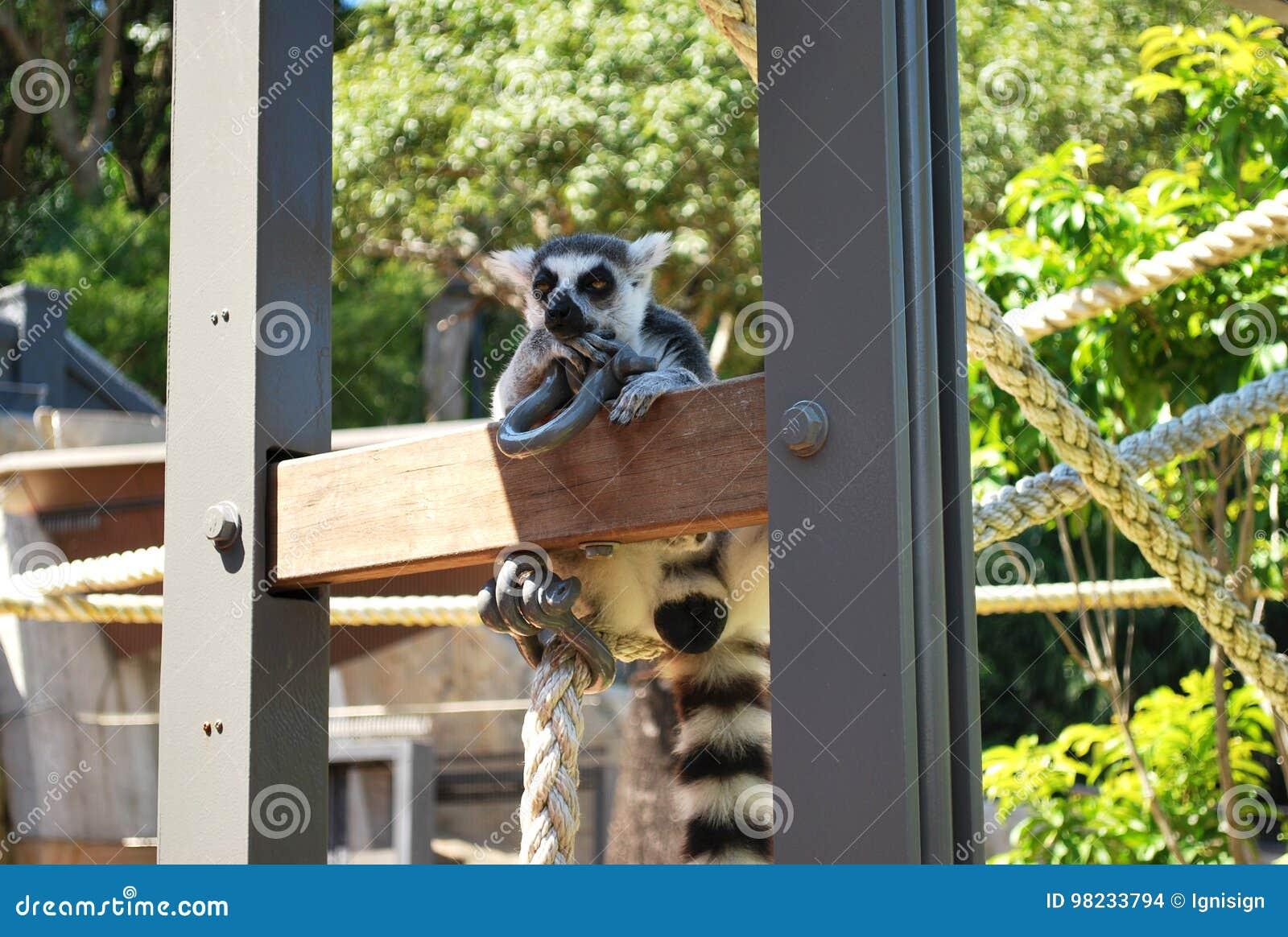显示怀疑的环纹尾的狐猴学士在一个晴天