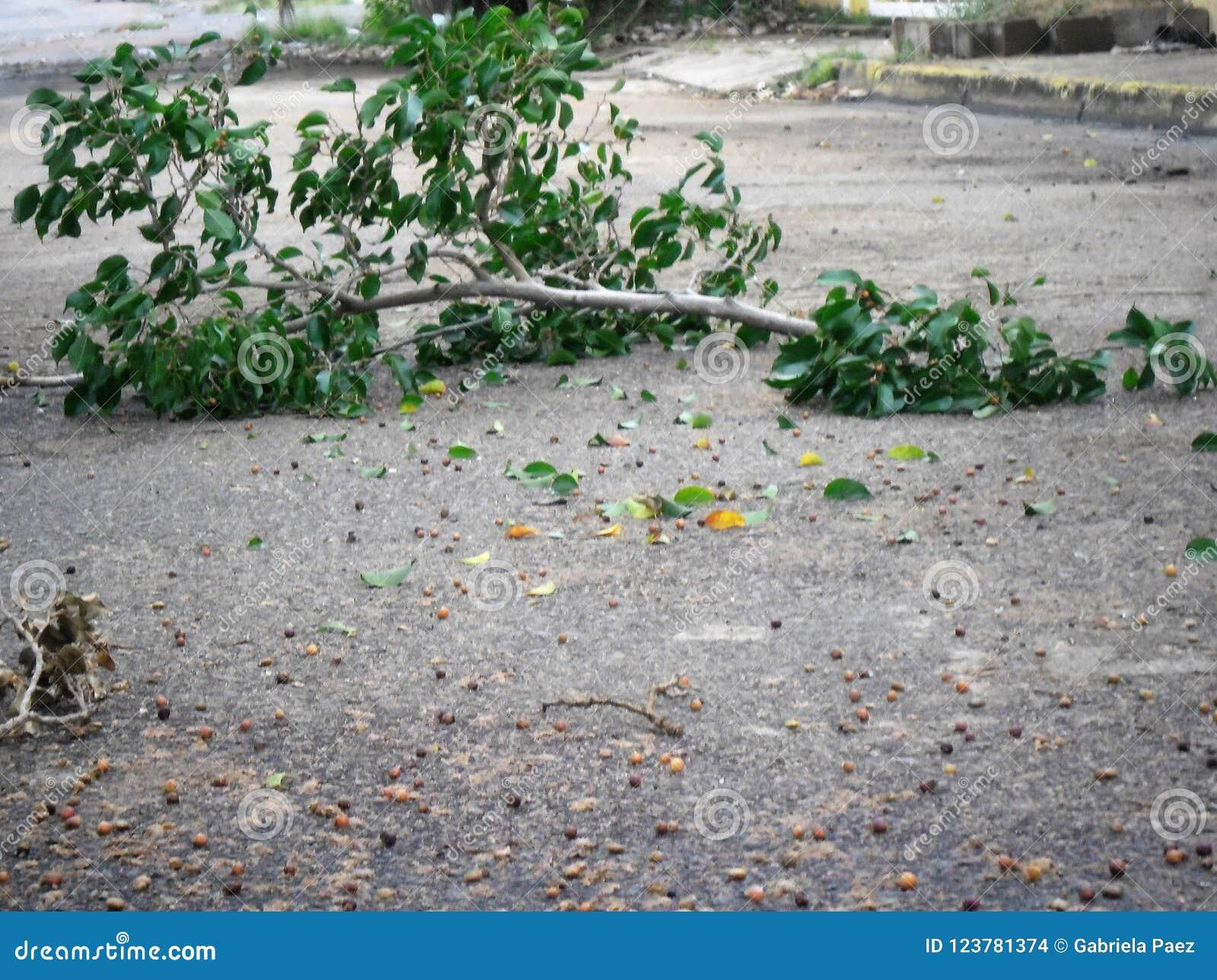 晒黑在风暴以后的树枝