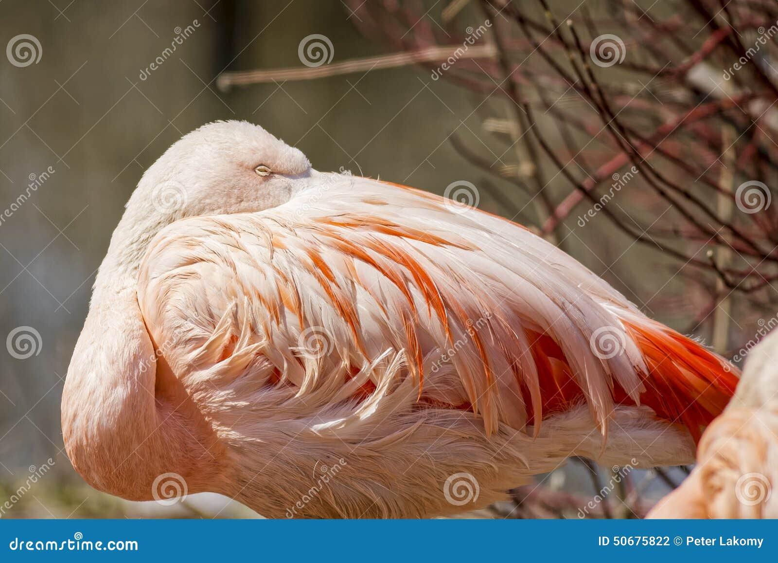 Download 智利桃红色火鸟 库存照片. 图片 包括有 模式, 添加, 脖子, 室外, 演变, 危及, 环境, 双翼飞机 - 50675822