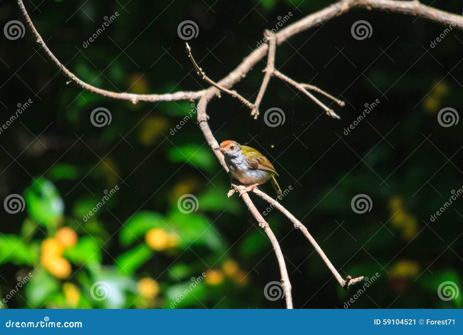 黑暗收缩的长尾缝叶鸟