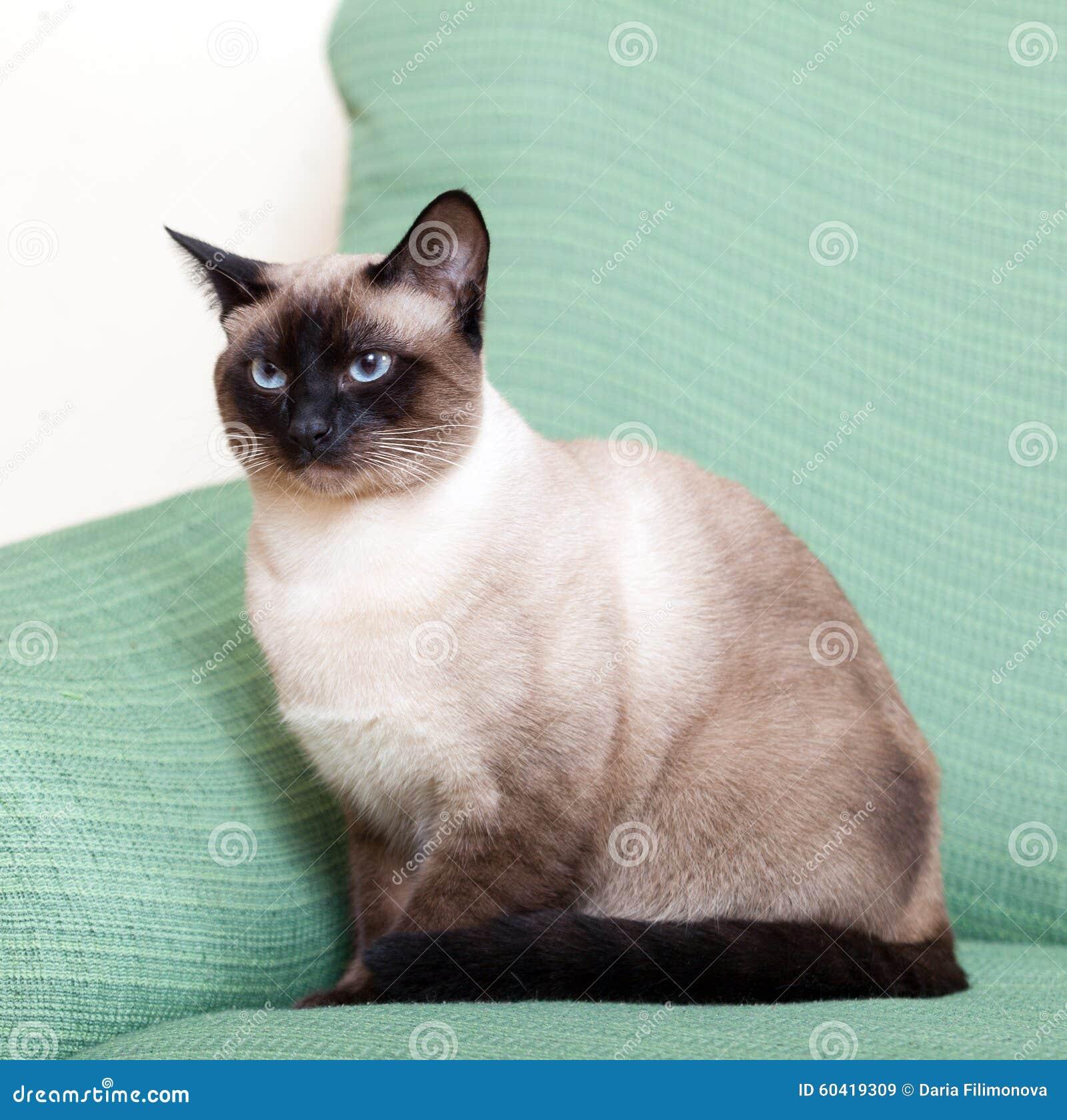 暹罗猫在家