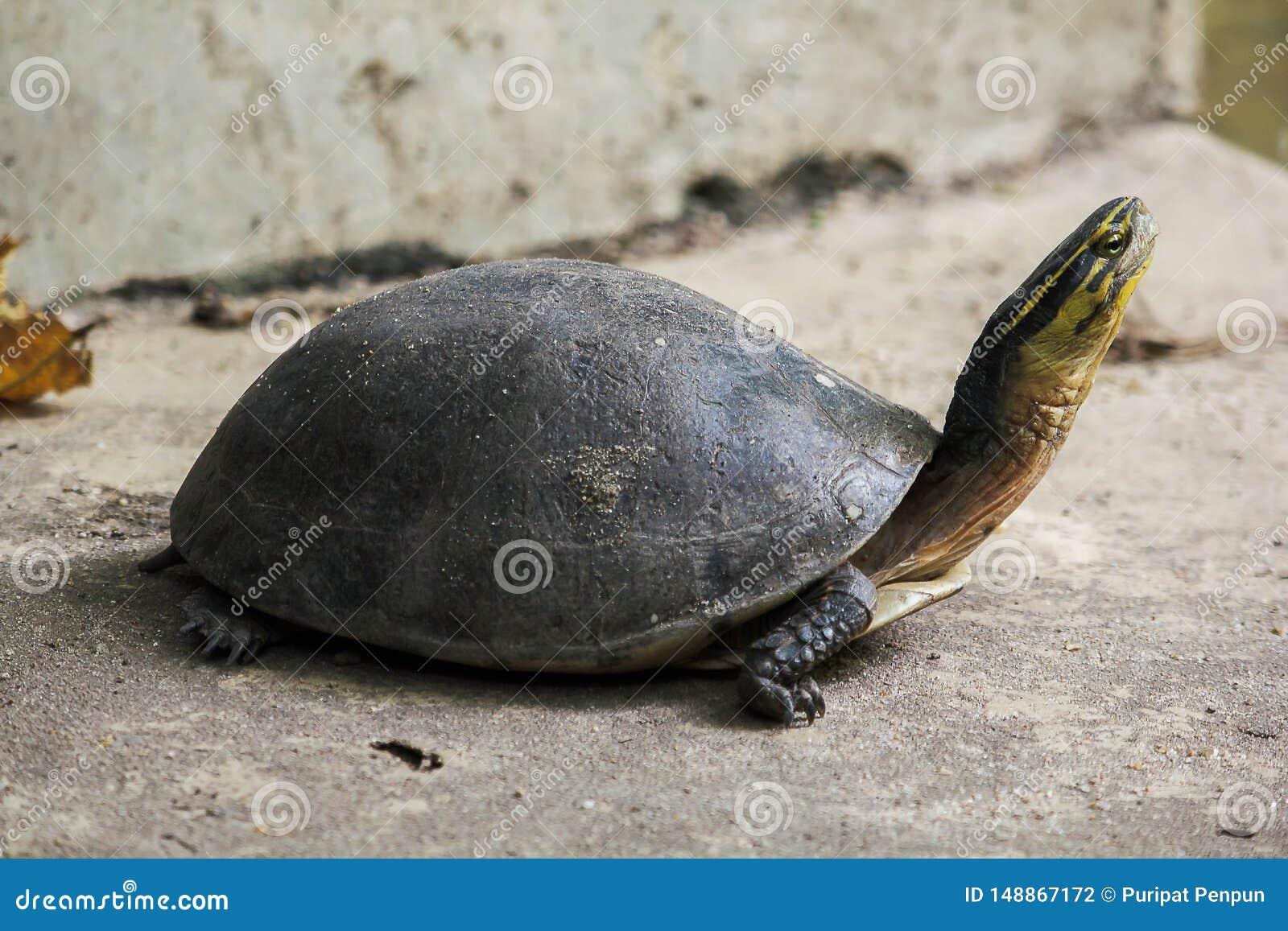 暹罗箱子水龟 塑造象乌龟,但是与弯曲的更高
