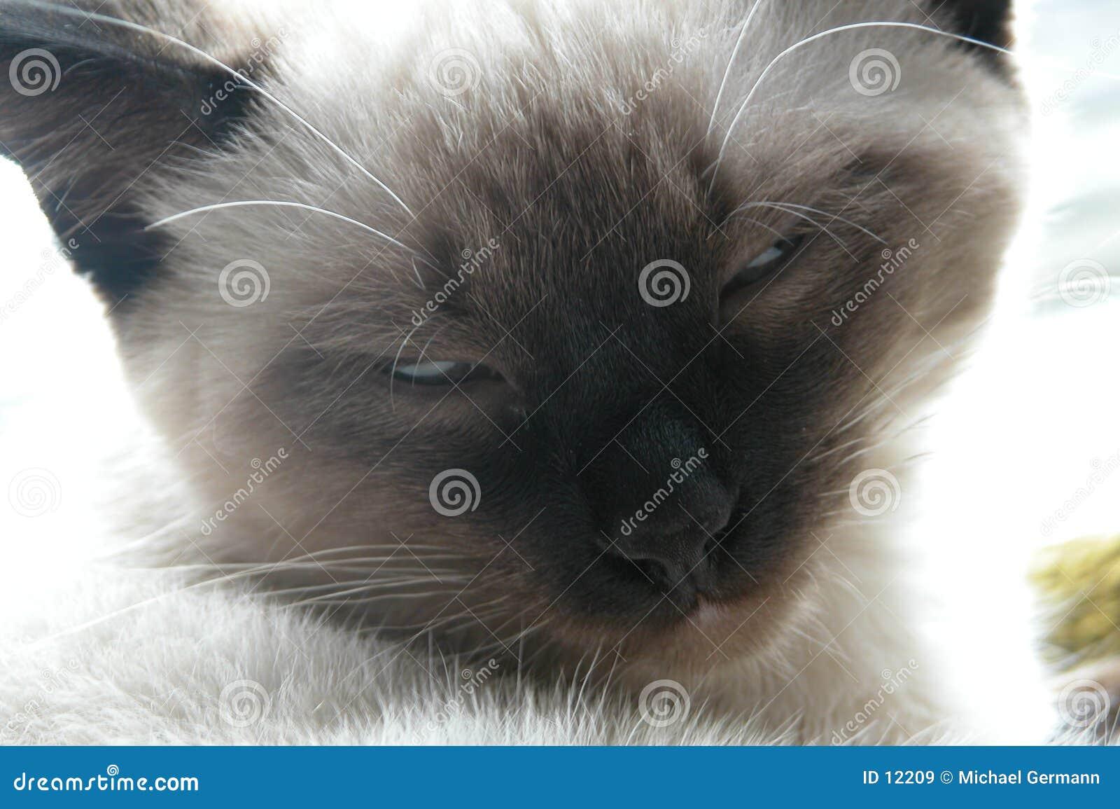 暹罗语的小猫