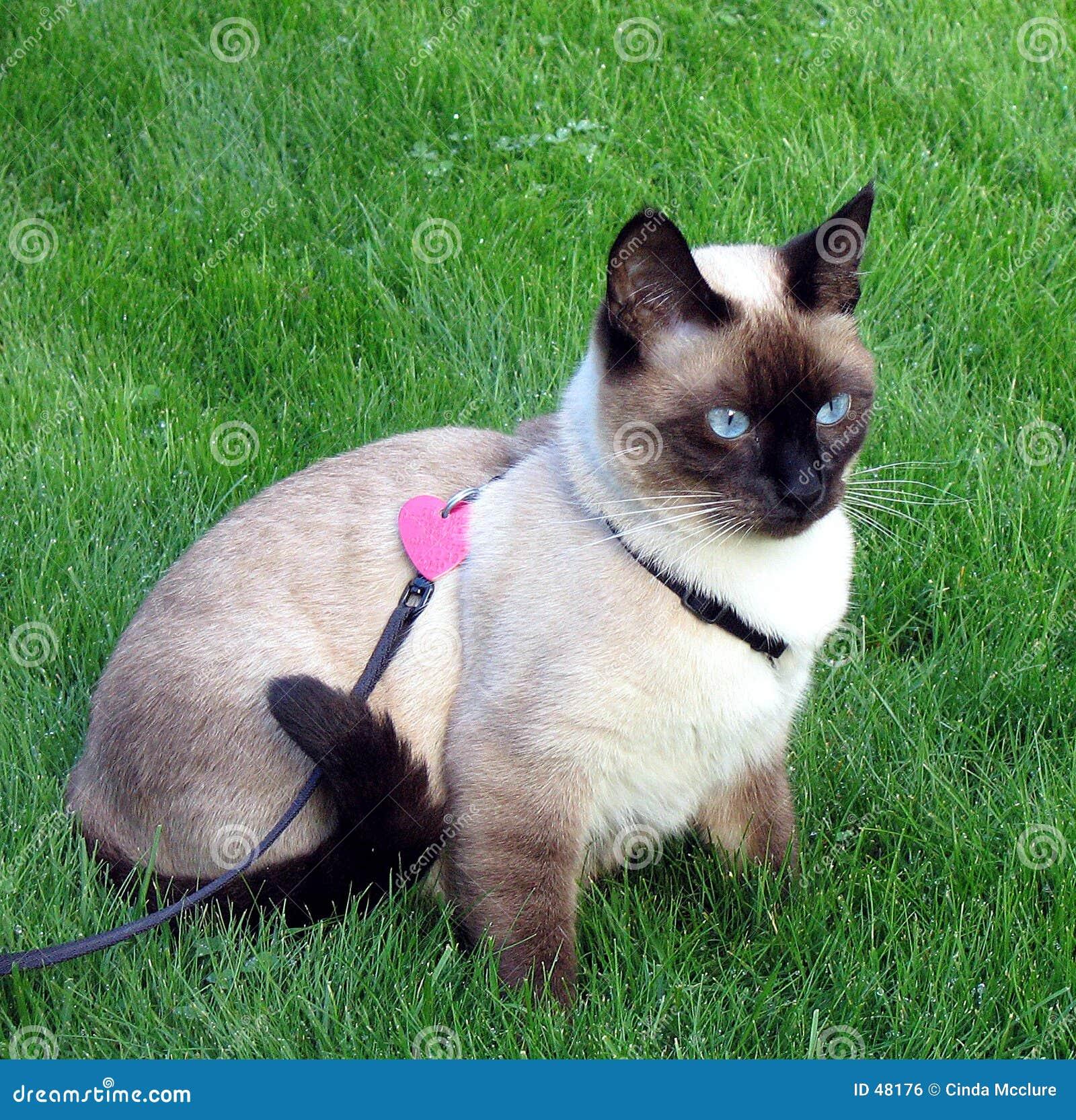 暹罗语的猫