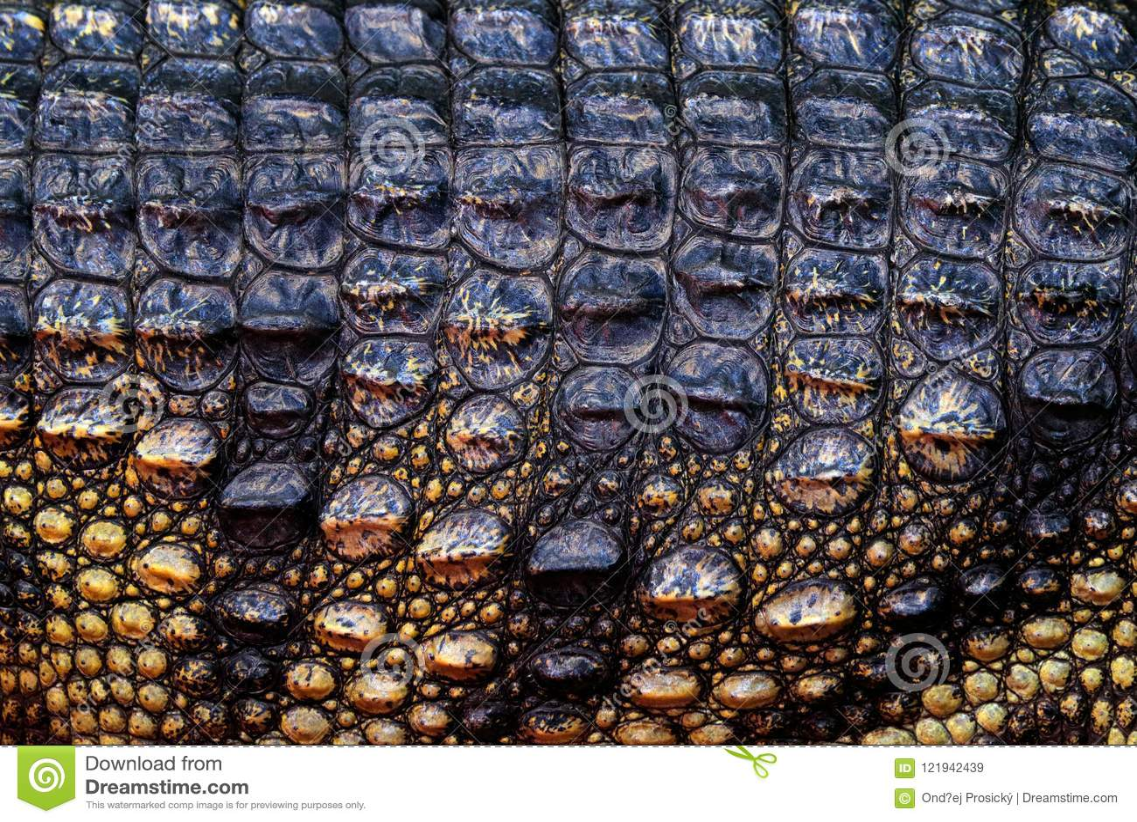 暹罗鳄鱼,湾鳄siamensis,淡水爬行动物当地人向印度尼西亚 特写镜头罕见的动物皮肤细节  艺术视图