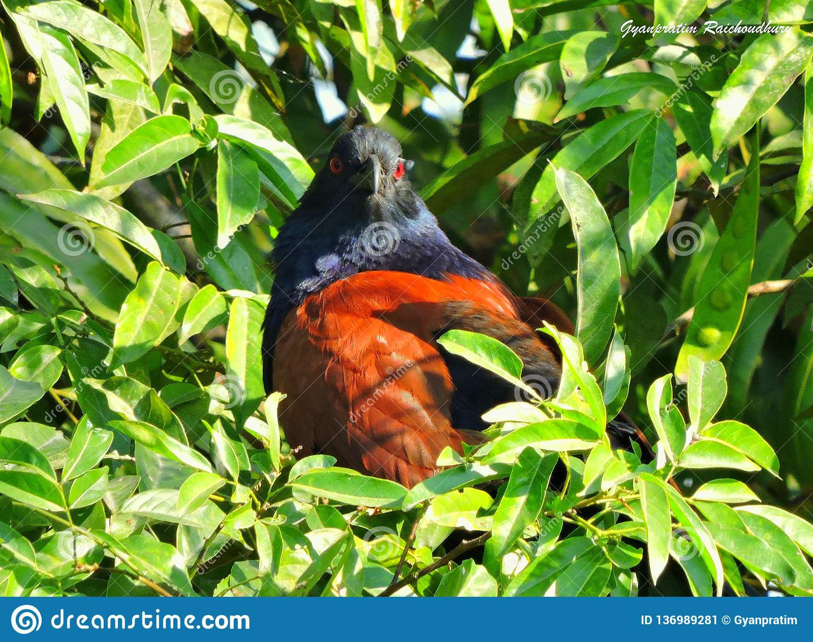 TheÂ更加伟大coucal