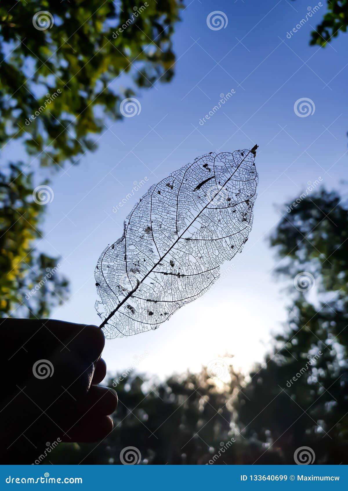 最基本的叶子的阴影