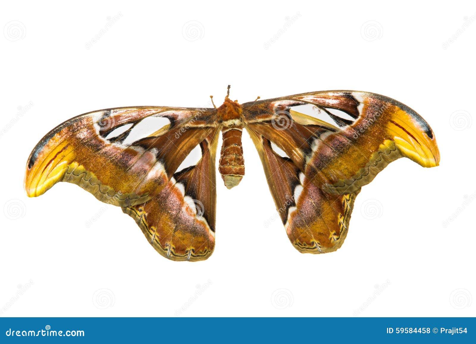最大的飞蛾