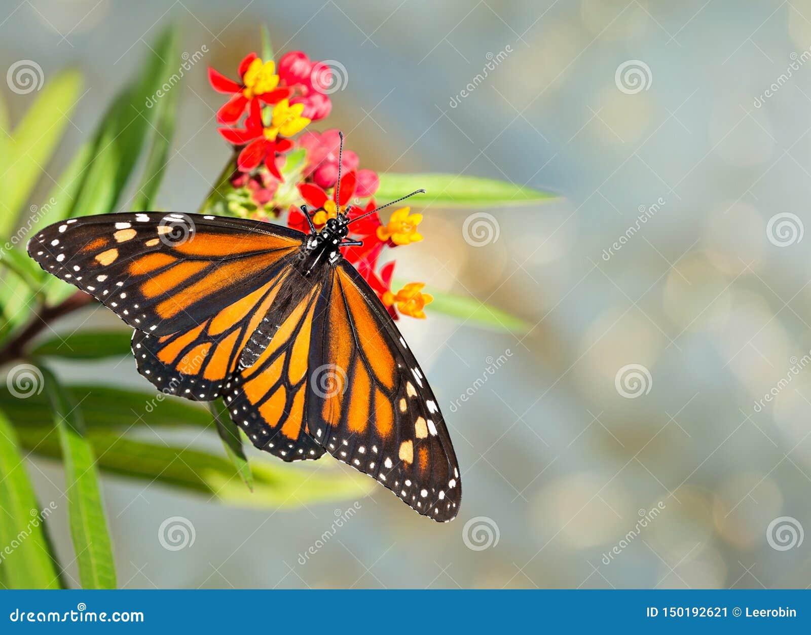 最近涌现了在热带乳草花的黑脉金斑蝶