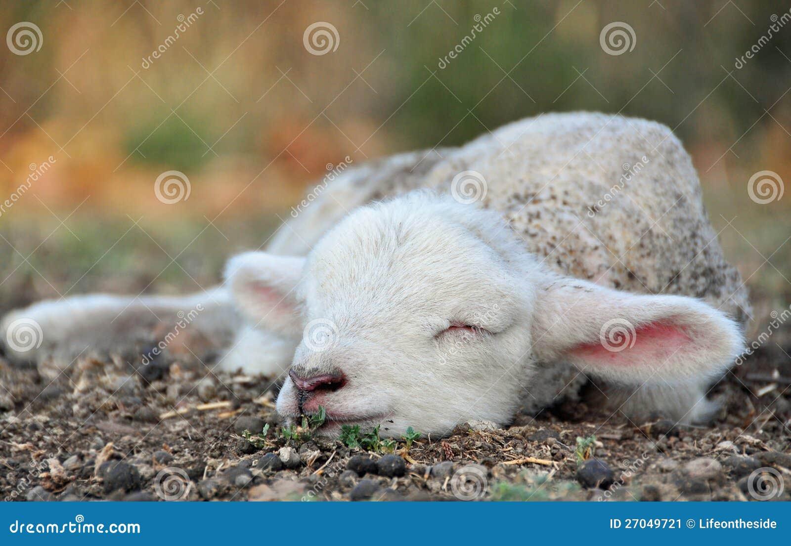 最逗人喜爱的新出生的春天羊羔!
