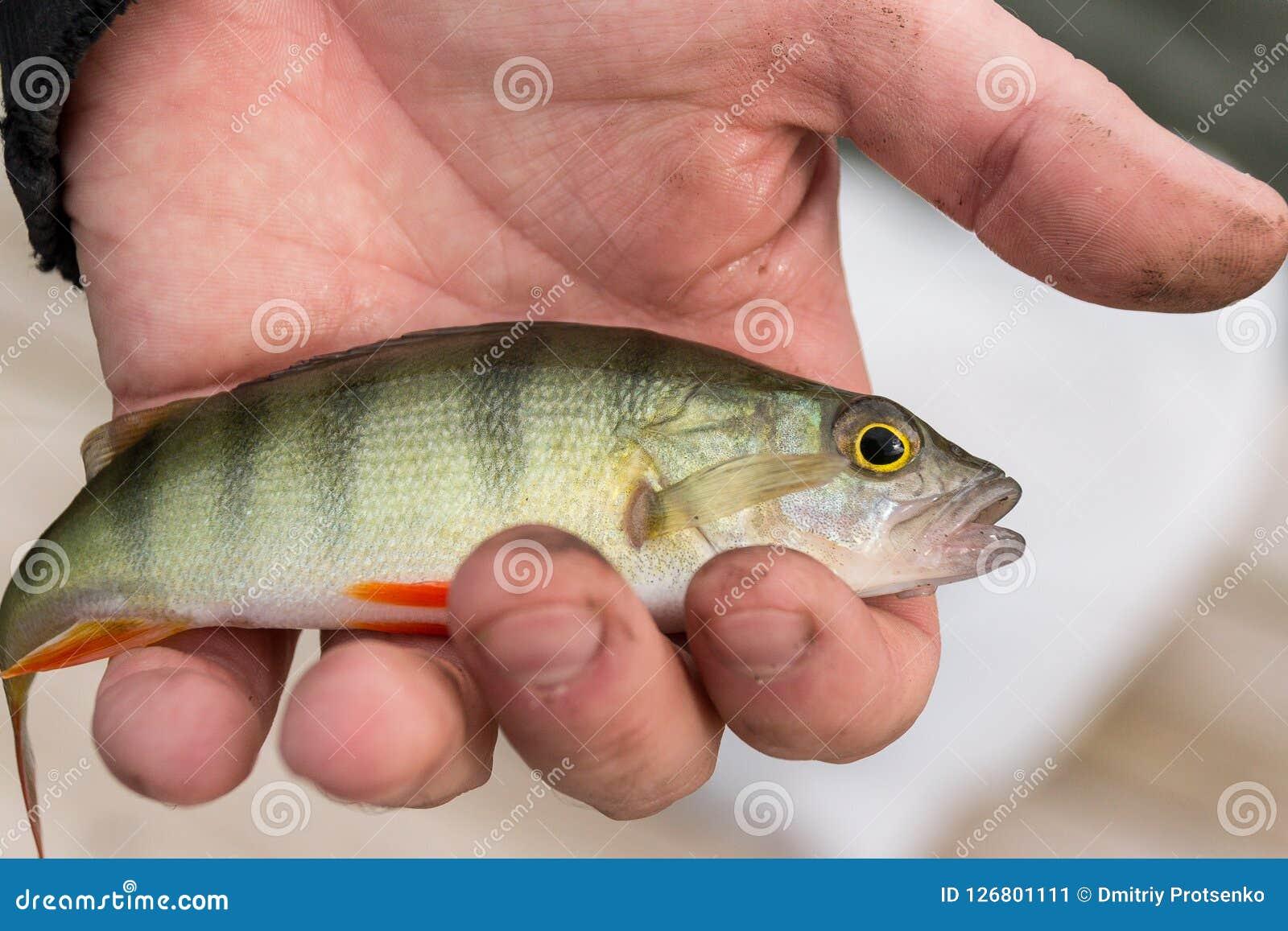 有一条小新鲜的生鱼的一只人` s手 捕鱼 竞争