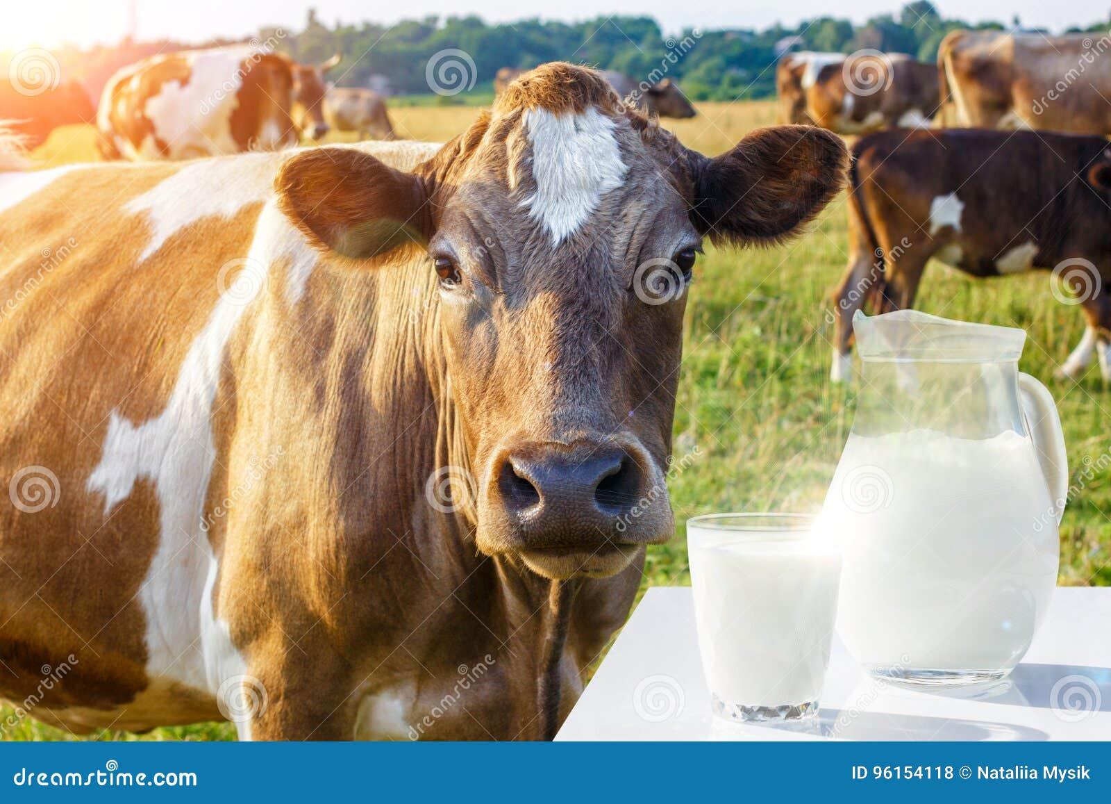 有一杯的一个投手牛奶和母牛