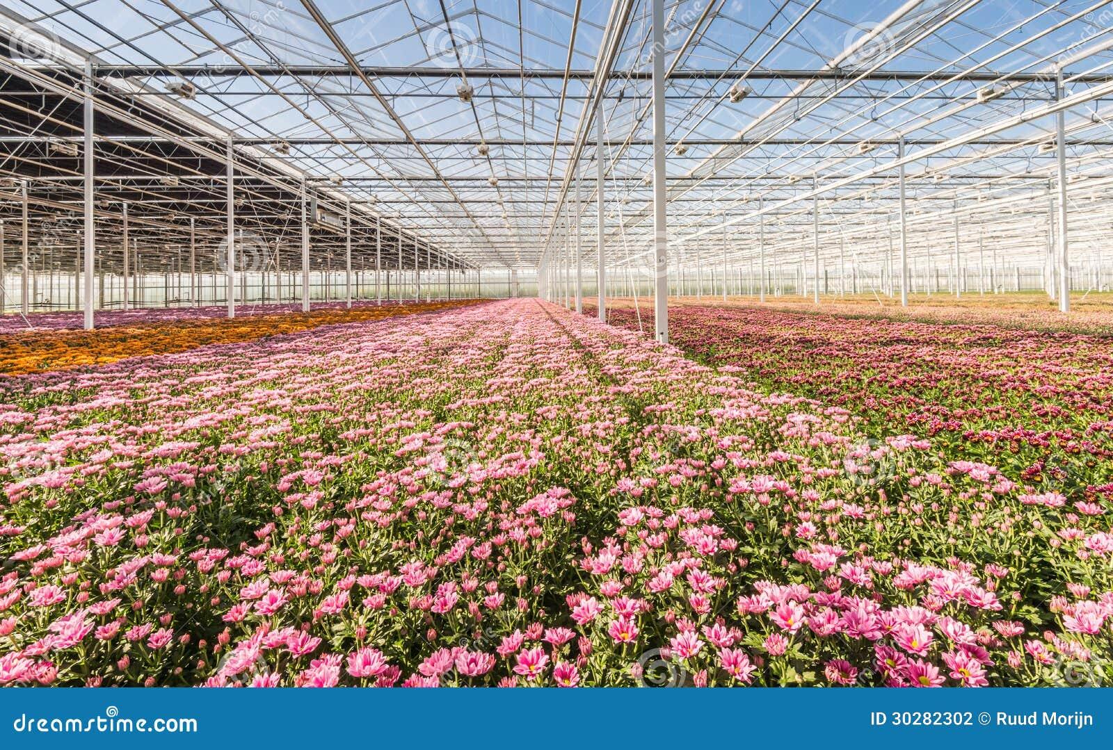 有开花的Chrysanths玻璃温室