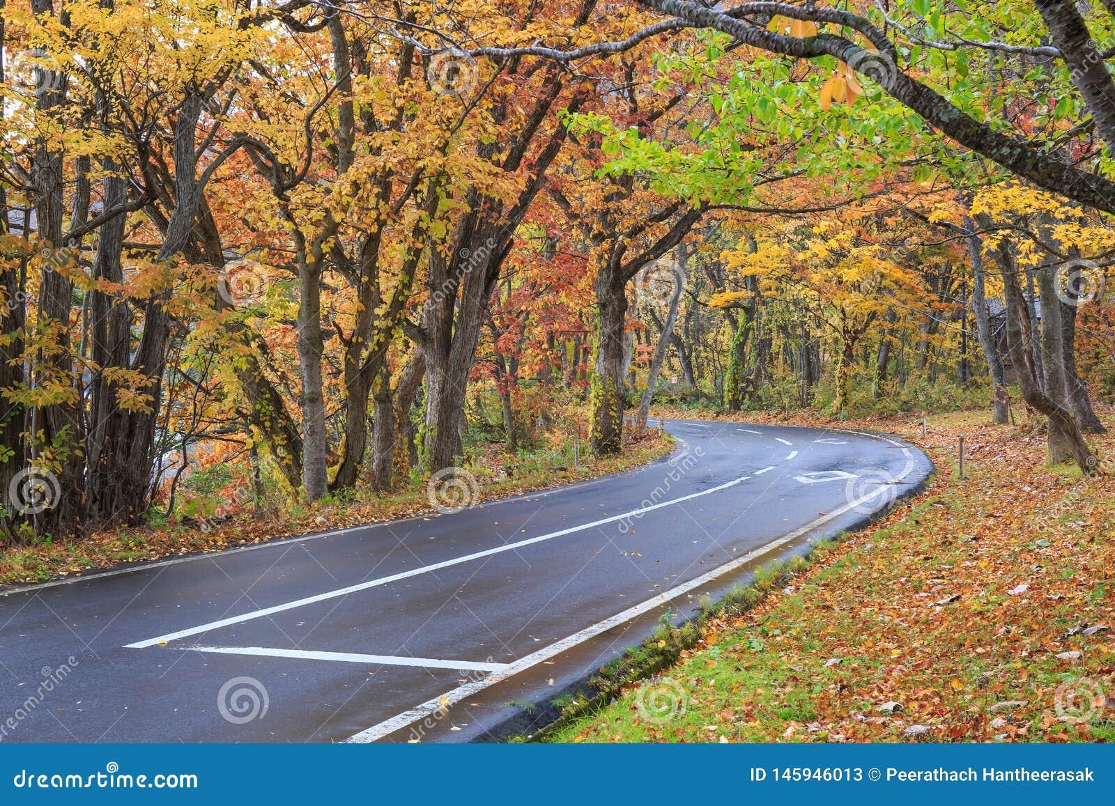 有充满活力的叶子的湖路在秋天,十和田湖-数纳,秋田,日本