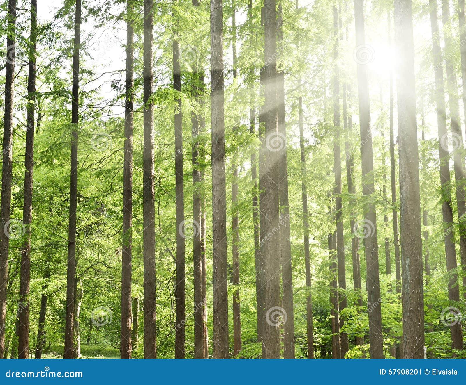 有光束的针叶树森林